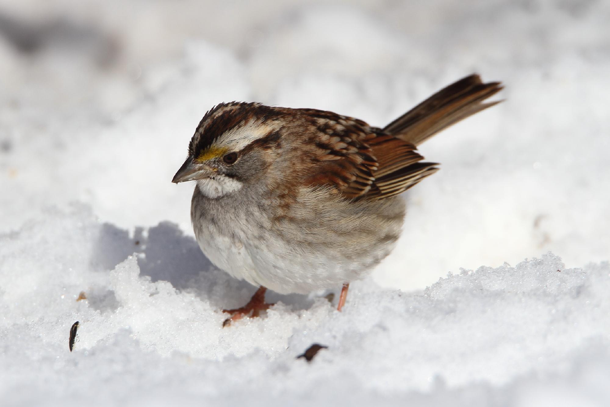 hintergrundbilder schnee winter tierwelt schnabel spatz wetter vogel fink lerche. Black Bedroom Furniture Sets. Home Design Ideas