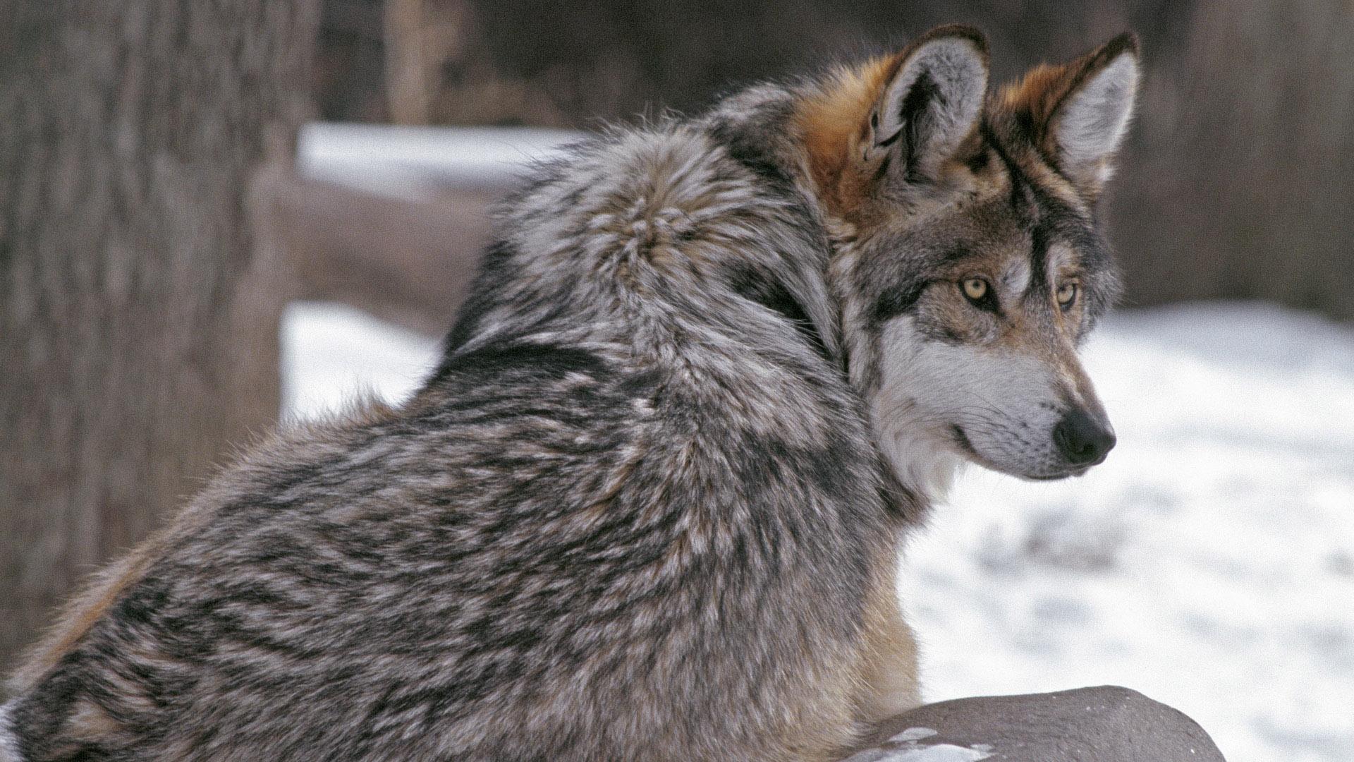 Sfondi : la neve inverno natura grigio pelliccia il male