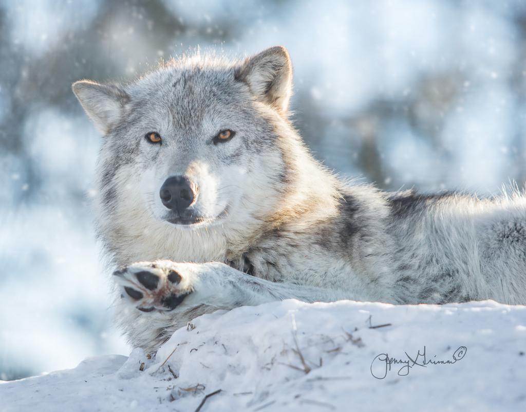 Sfondi : La Neve, Inverno, Alaska, Pelliccia, Natura