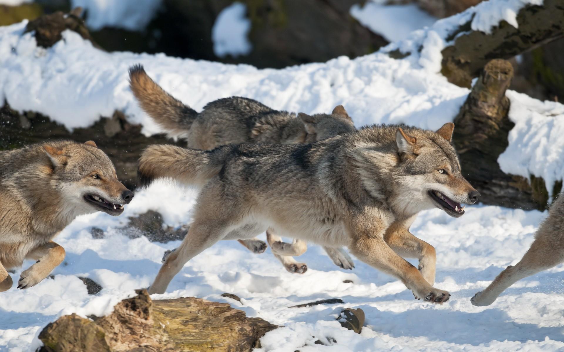 картинка как охотится волк зимой это оценят следующий
