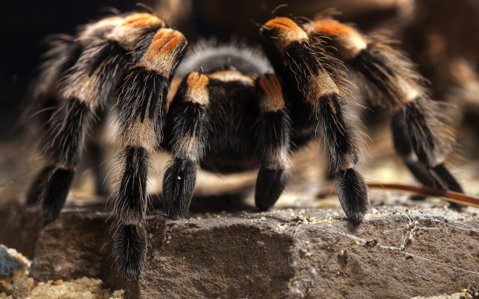 картинки самава большова паука поможет выявить