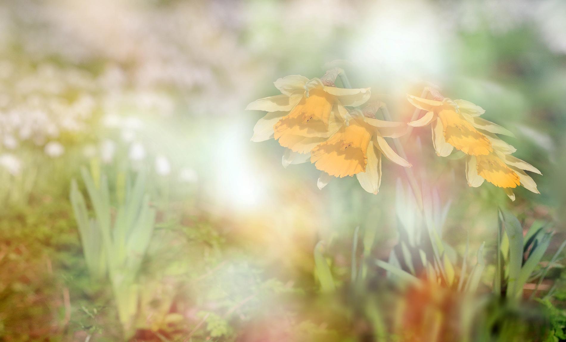 Fiori Narcisi.Wallpaper Spring Flowers Daffodils Macro Nature Bokeh