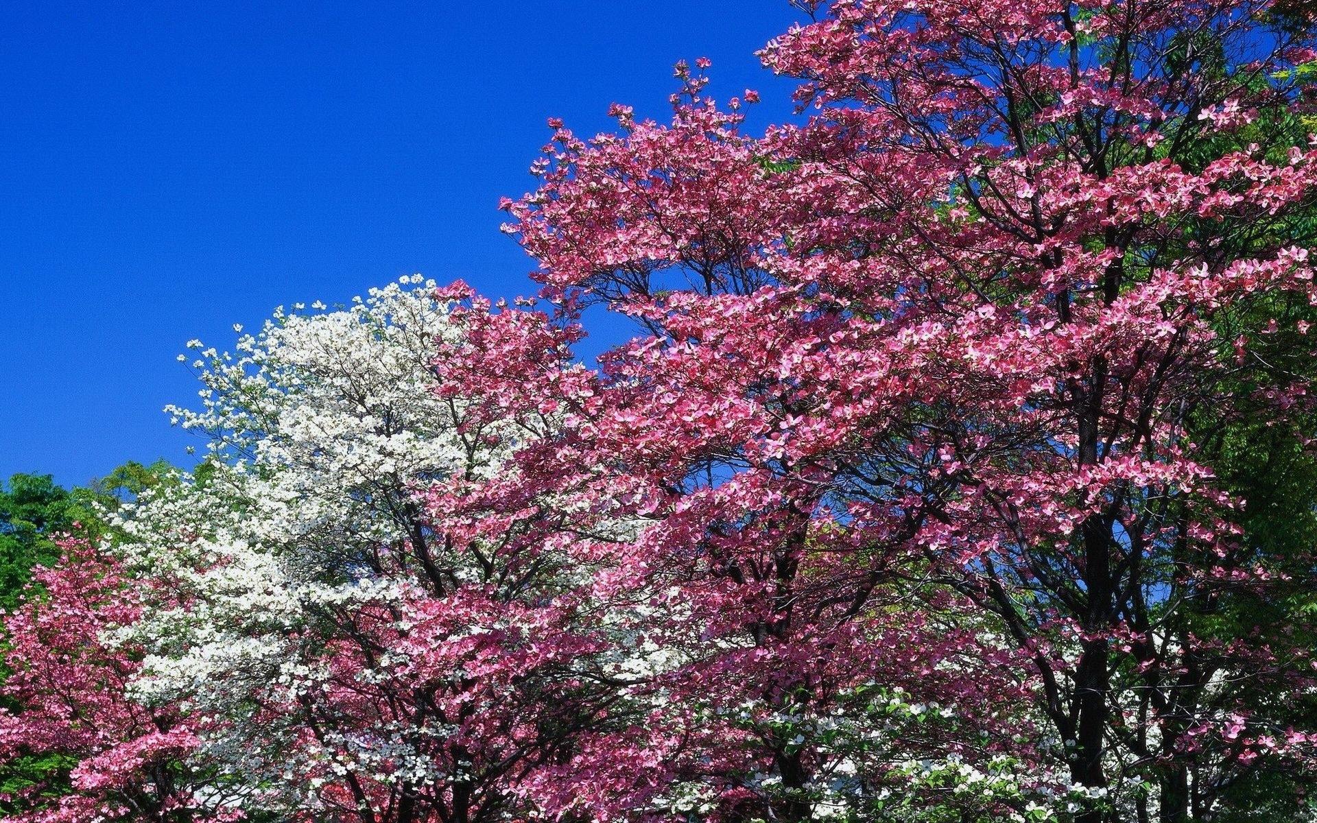 юбочка цветение деревьев бело розовым цветом фото пока выяснили, имели