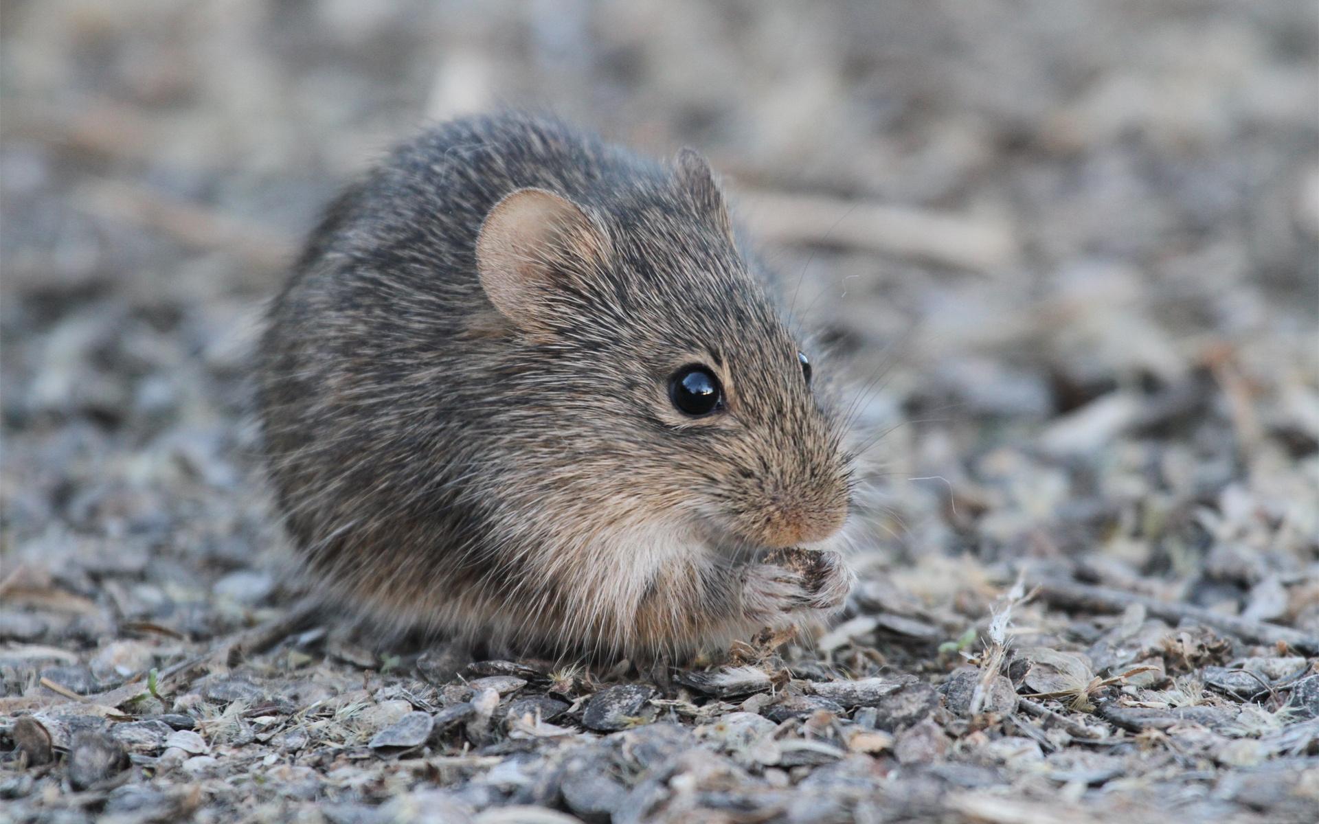 мыши грызуны фото первый взгляд такие