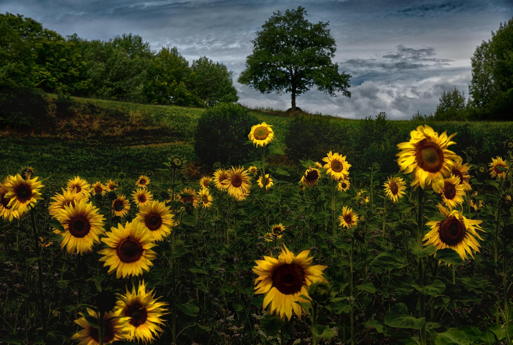 Fondos De Pantalla : Girasoles, Flores Amarillas, Campo