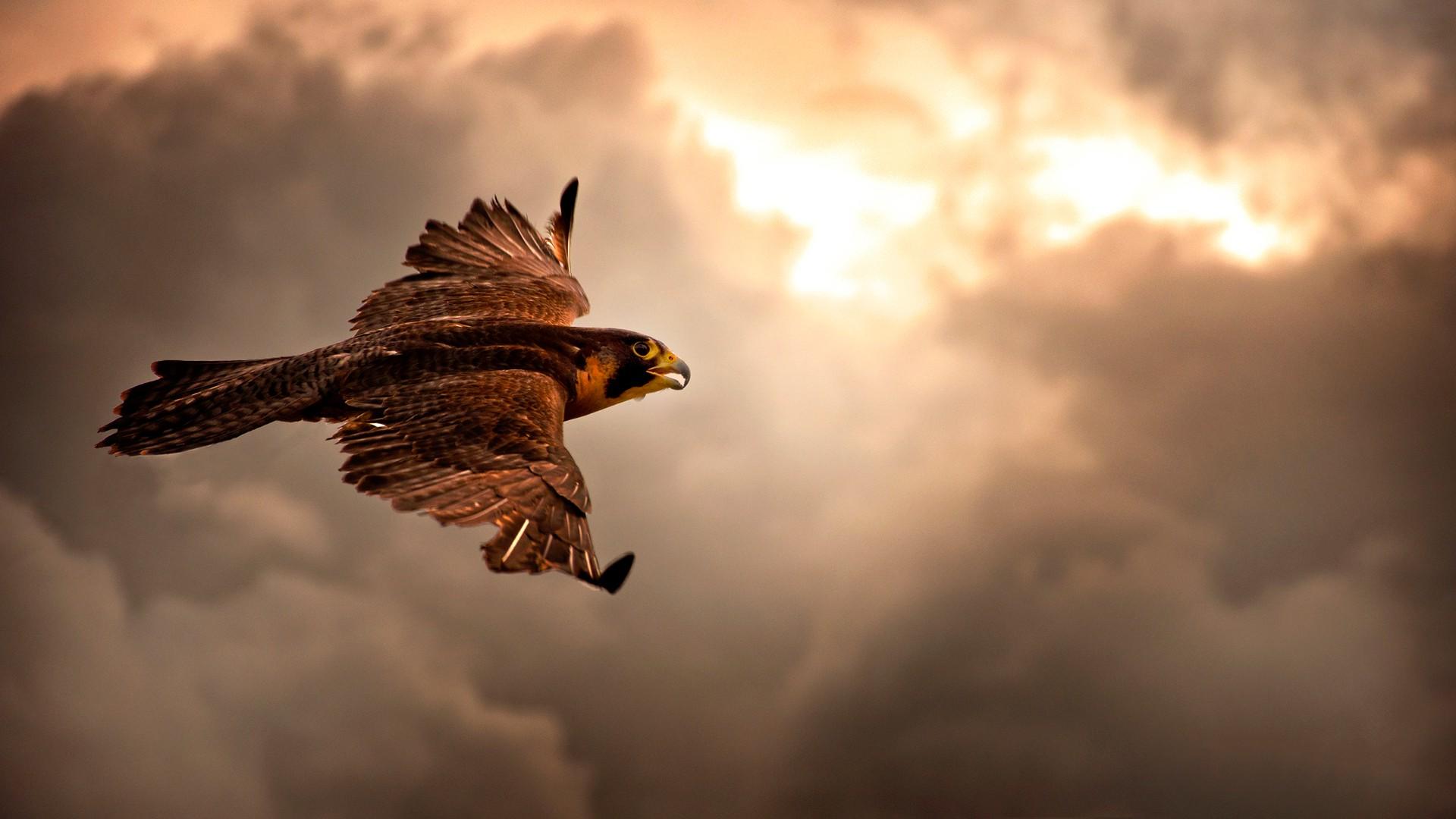 Sunlight Birds Animals Nature Sky Morning Hawks Bird Of Prey Eagle Flight Cloud Wing 1920x1080