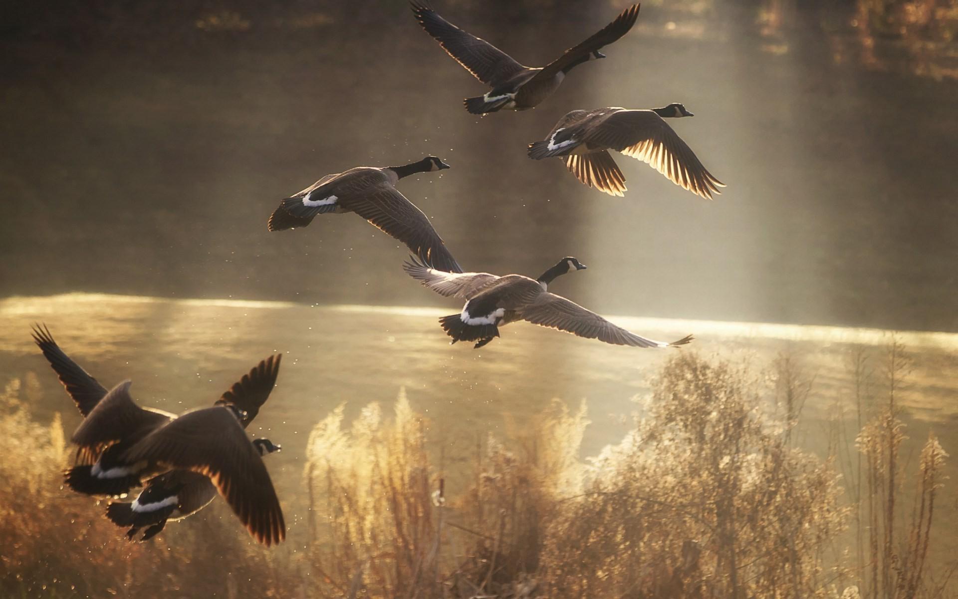 Sunlight Birds Flying Wildlife Duck Goose Geese Flight Bird Wing Screenshot 1920x1200 Px Waterfowl Vertebrate Water