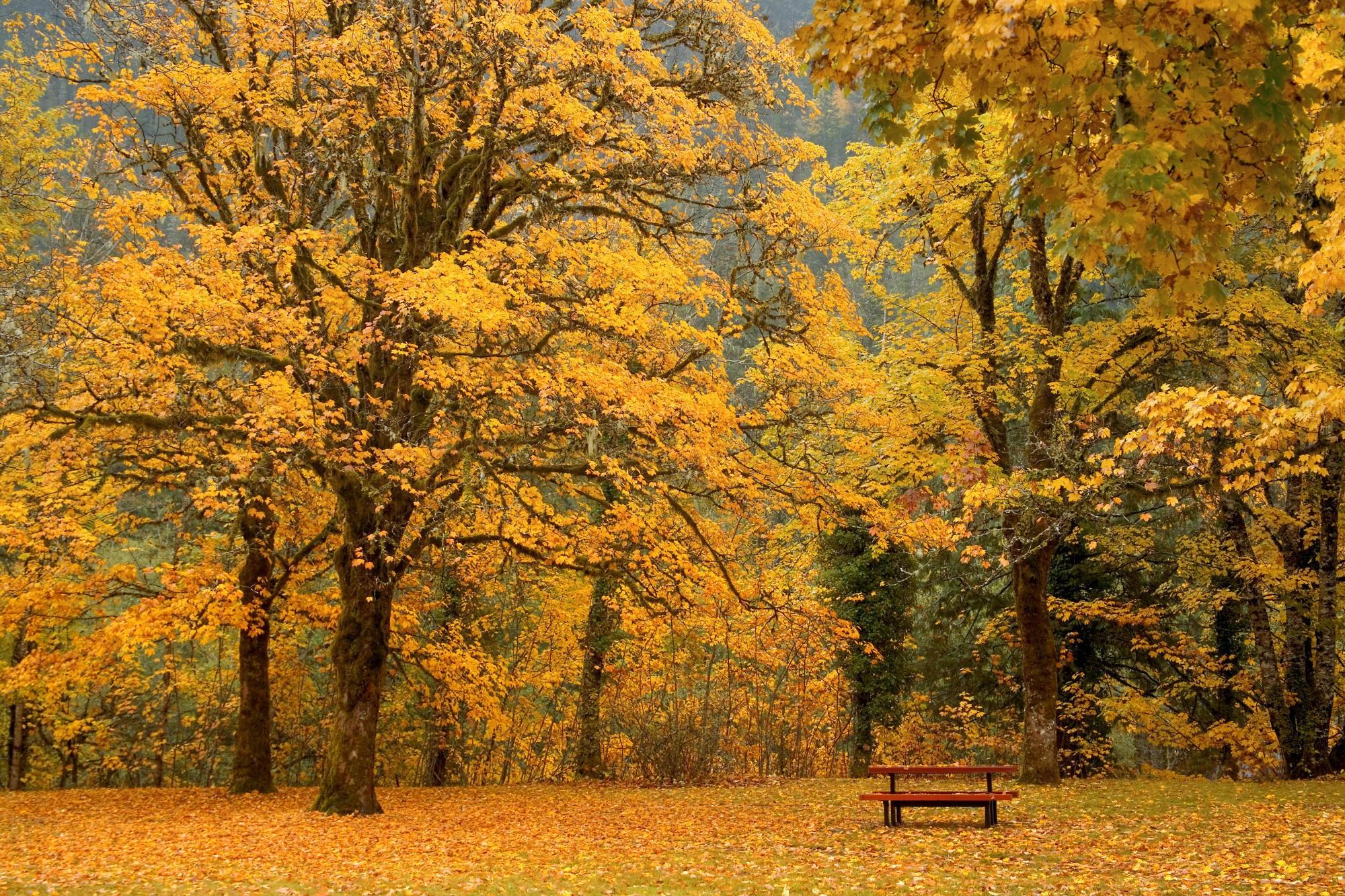 Sunlight Fall Branch Yellow Bench Oak Trees Tree Autumn Leaf Plant Season Woodland Grove Land