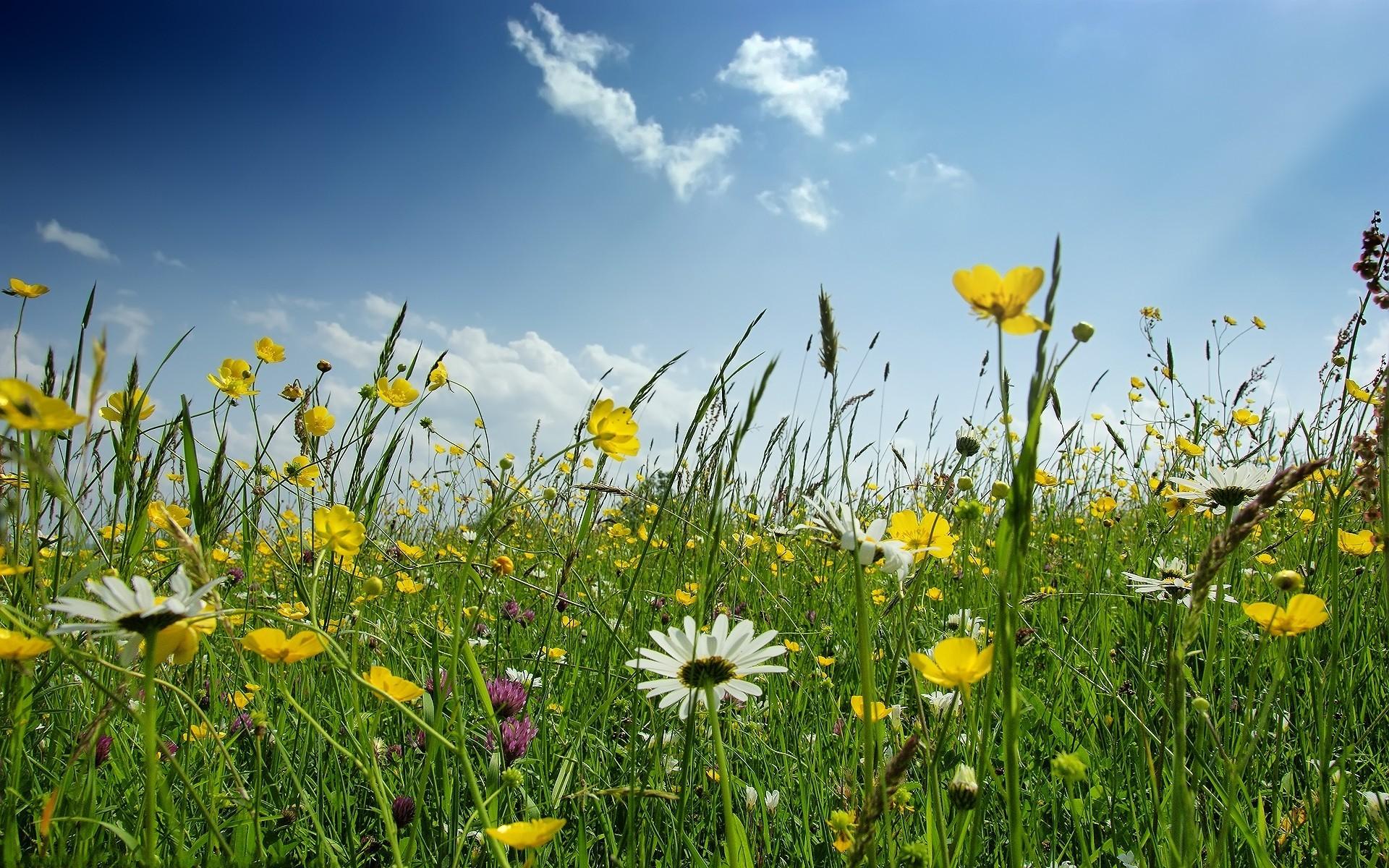 Wallpaper Sunlight Flowers Nature Sky Field Yellow Flower