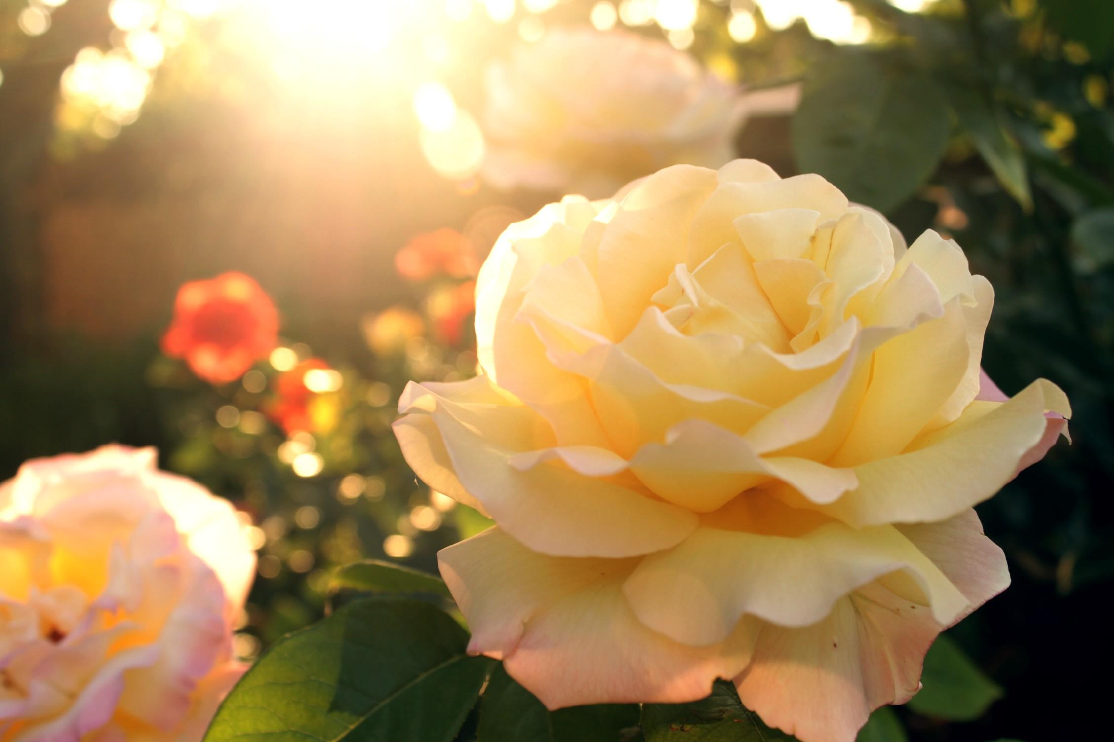 Для солнышко розы