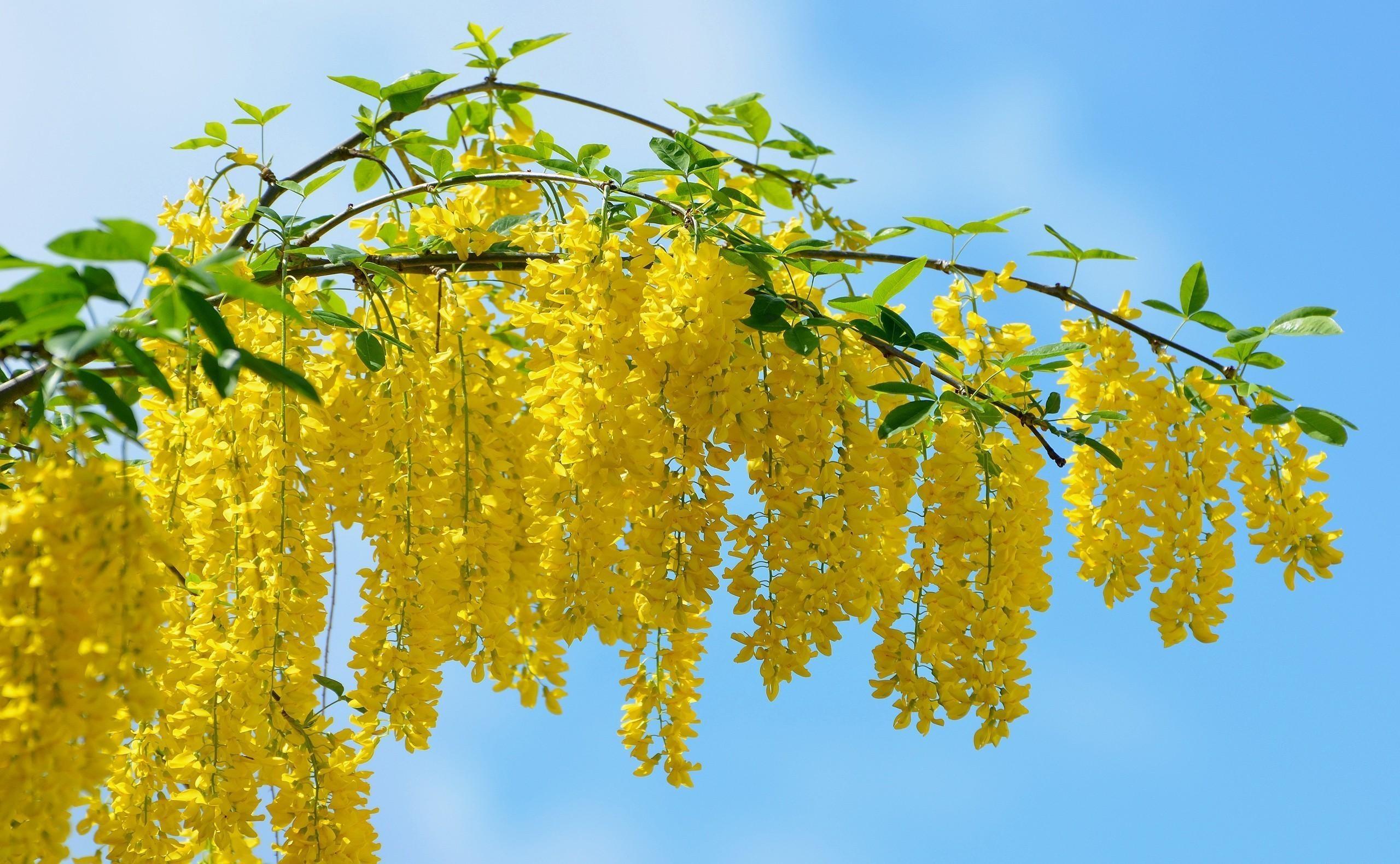 Wallpaper Sunlight Food Sky Branch Fruit Yellow Mimosa