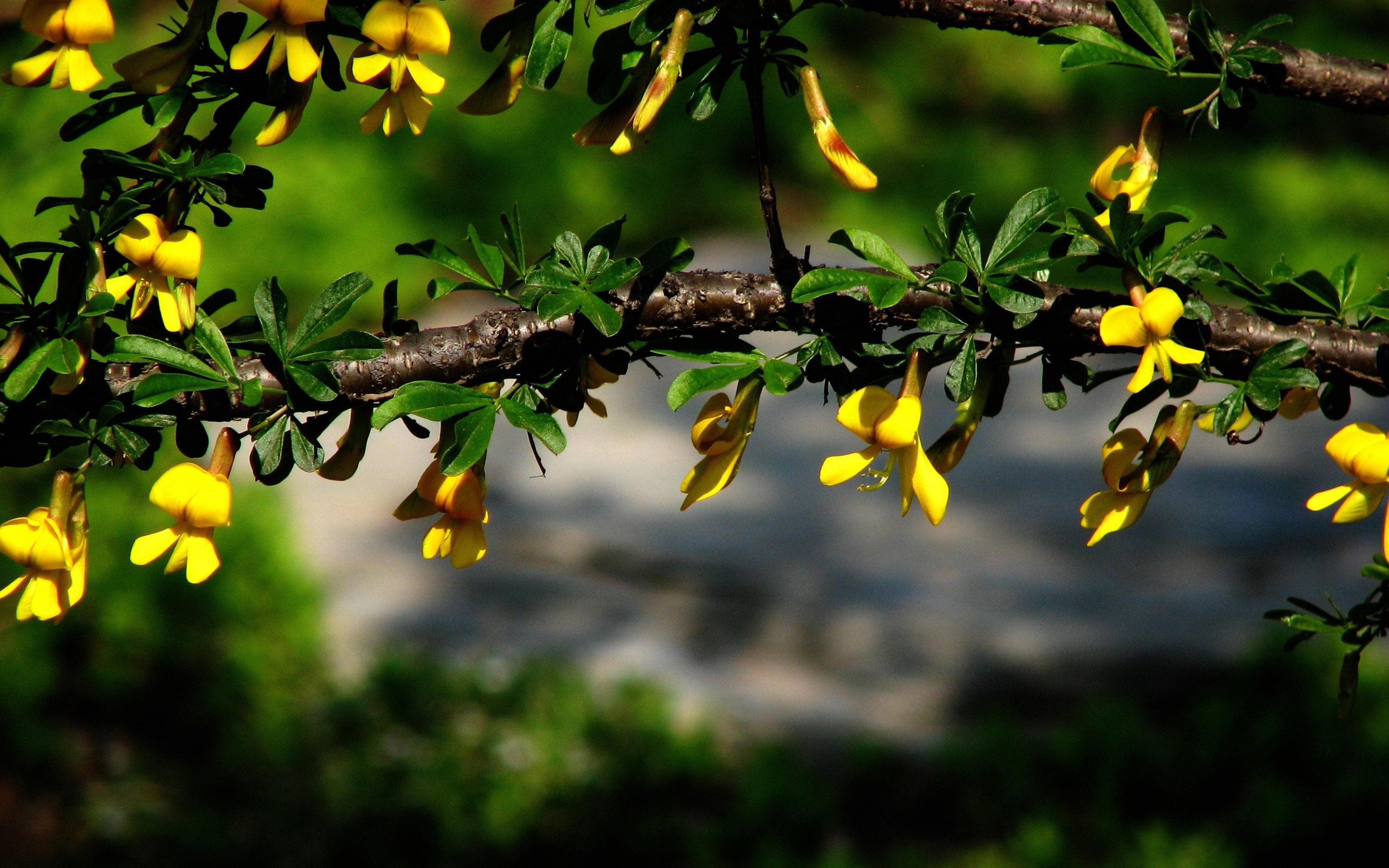 Albero Fiori Gialli.Sfondi Luce Del Sole Foresta Natura Fiori Gialli Ramo Verde