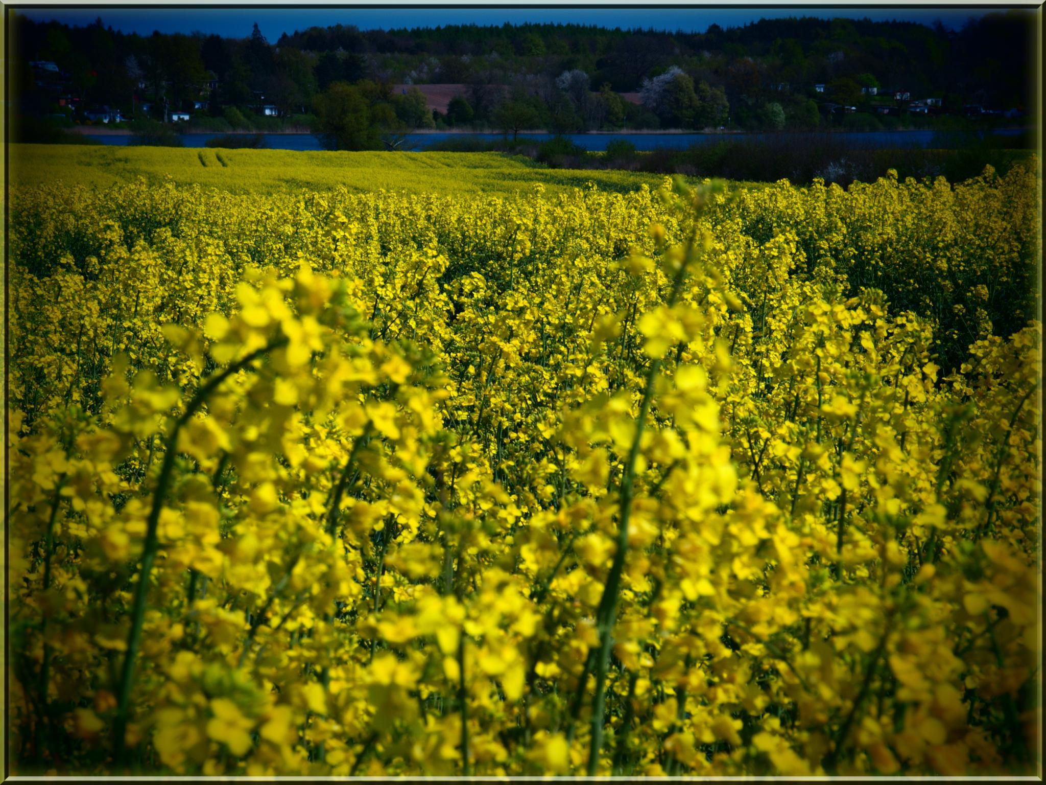 Fiori Gialli Germania.Sfondi Luce Del Sole Paesaggio Cielo Giallo Germania