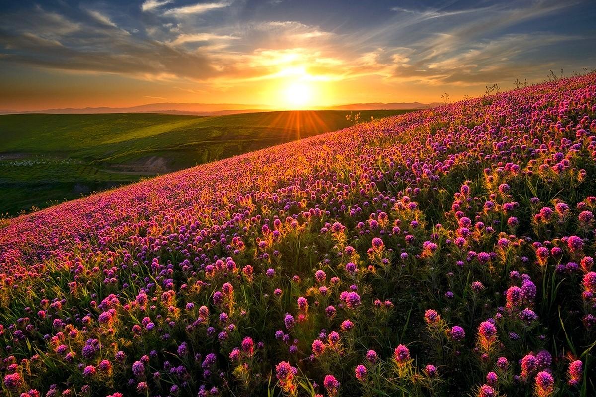картинки хризантемы поле закат