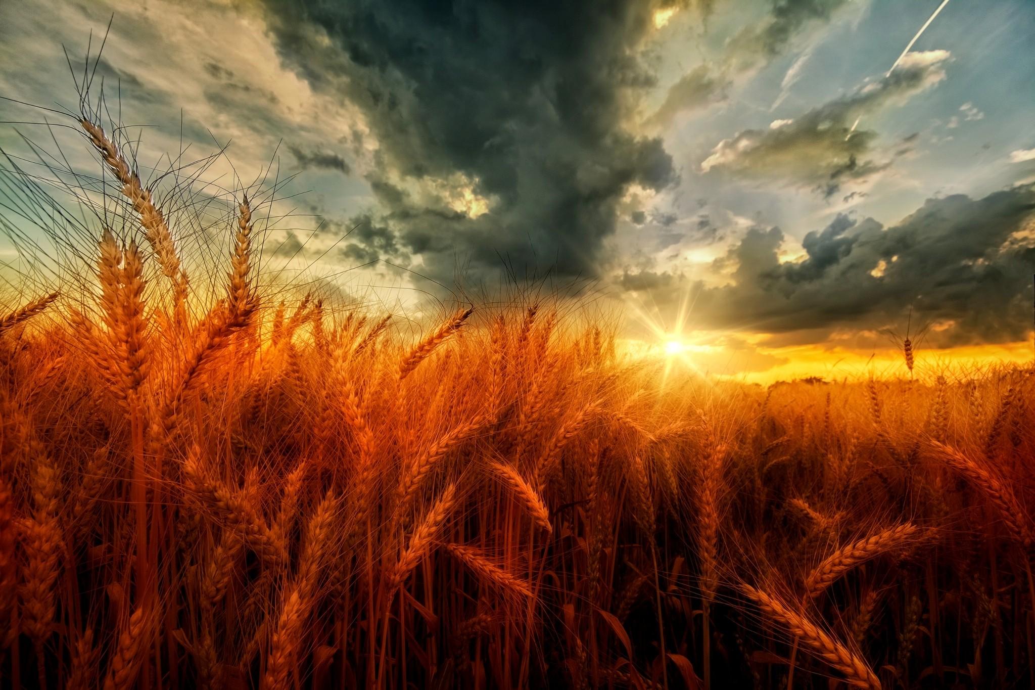 Картинка рассвет и пшеница