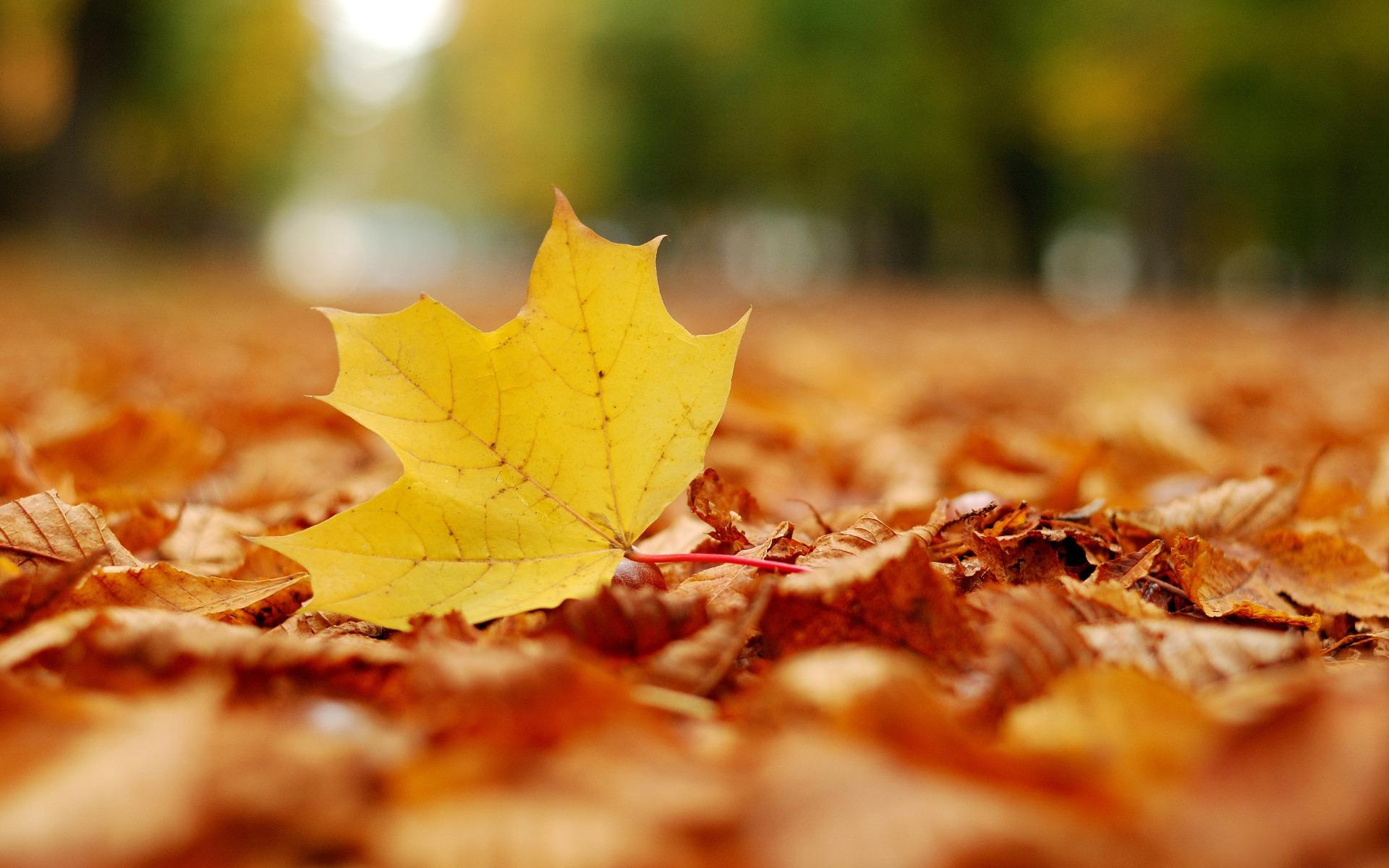 Hình nền : Ánh sáng mặt trời, thiên nhiên, nhiếp ảnh, chi nhánh, màu vàng, Mùa thu, Lá, cây phong, thực vật, Hệ thực vật, Nhà máy đất, thực vật có hoa, ...
