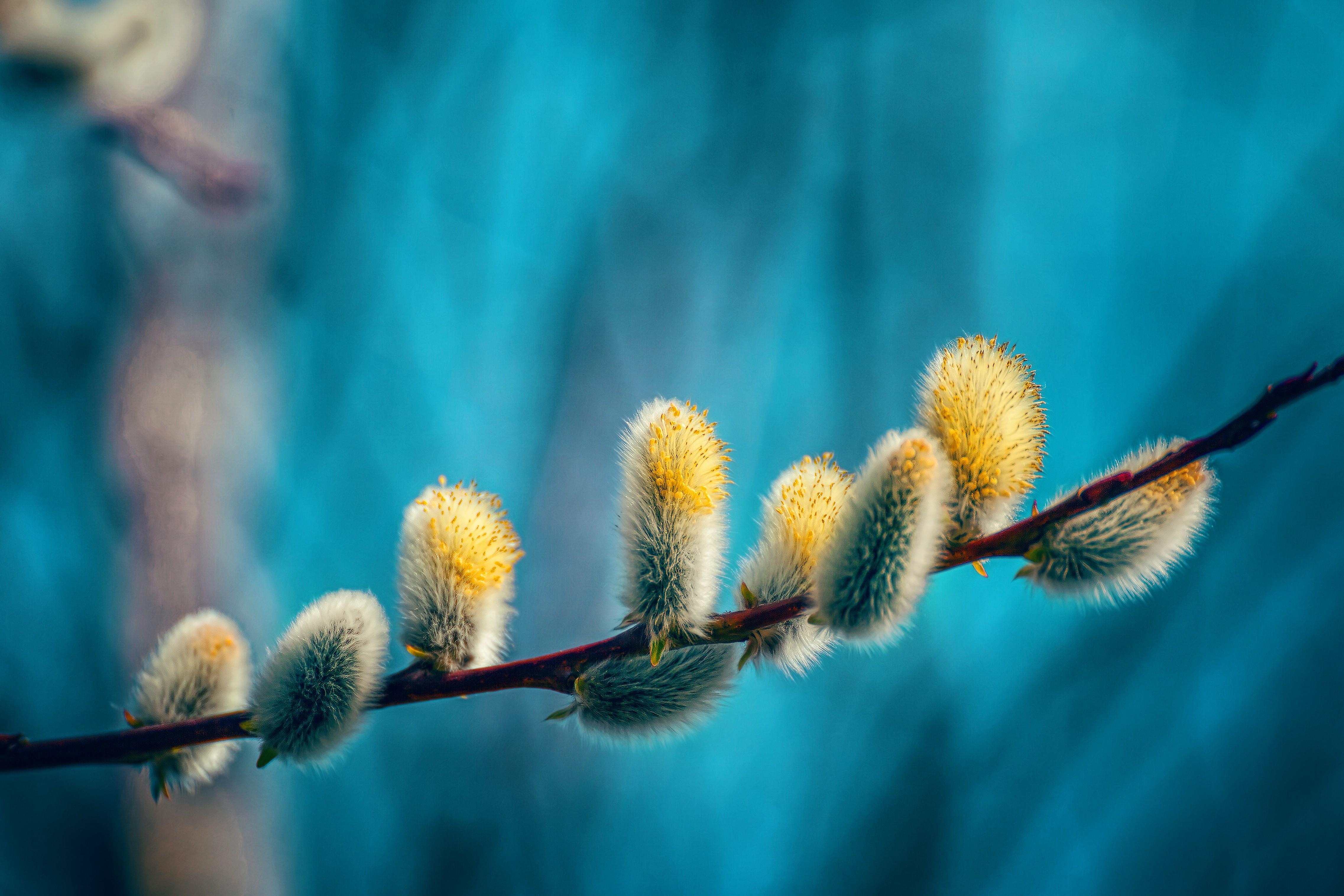 находится весна фото природа верба тоже братья-близнецы, характером
