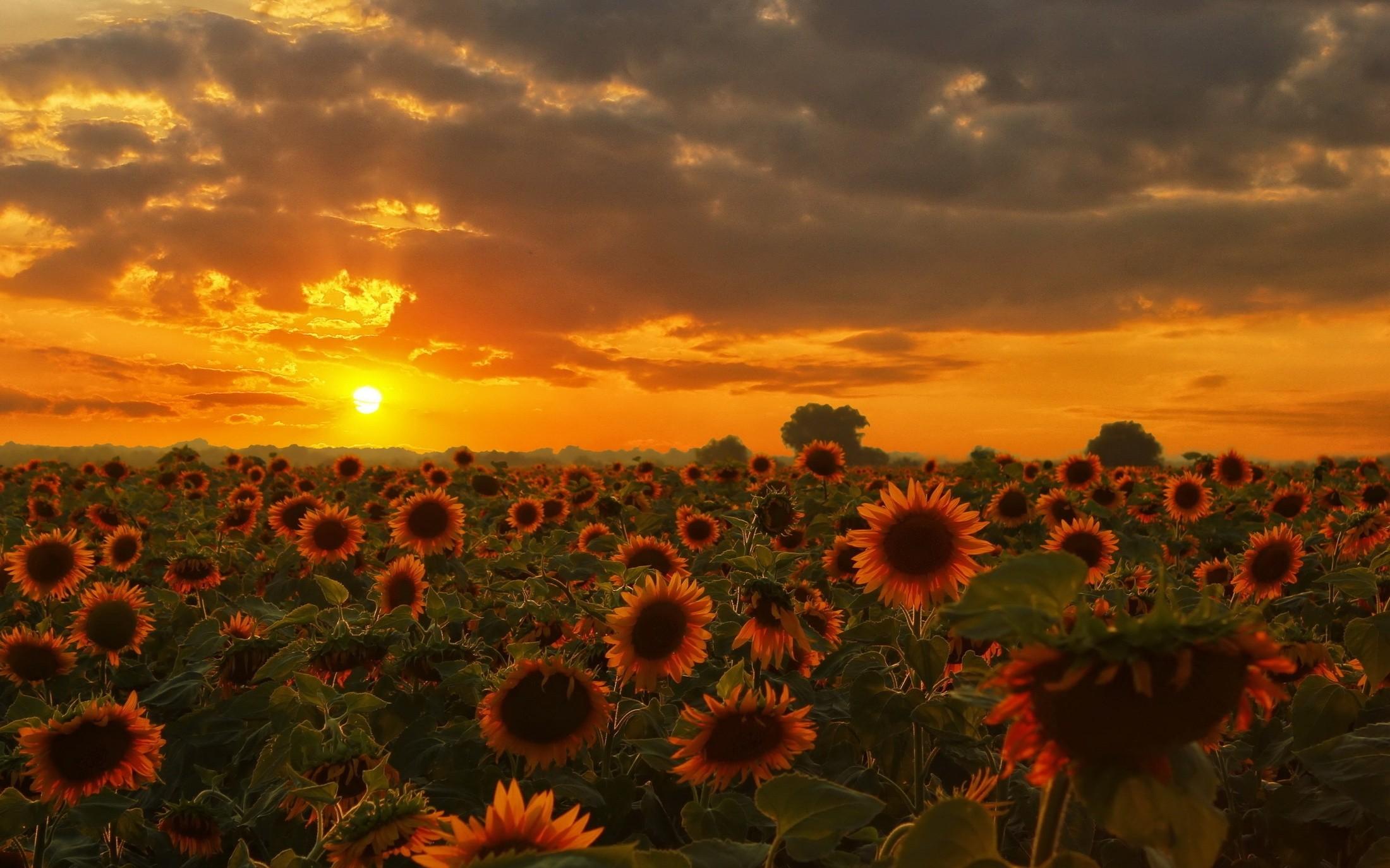 Wallpaper Sinar Matahari Matahari Terbenam Alam Langit Bidang Matahari Terbit Malam Pagi Matahari Senja Bunga Matahari Menanam Polos Padang Rumput Perasaan Senang Sesudah Mengalami Kesenganan Tanaman Tanah Tanaman Berbunga Keluarga Daisy