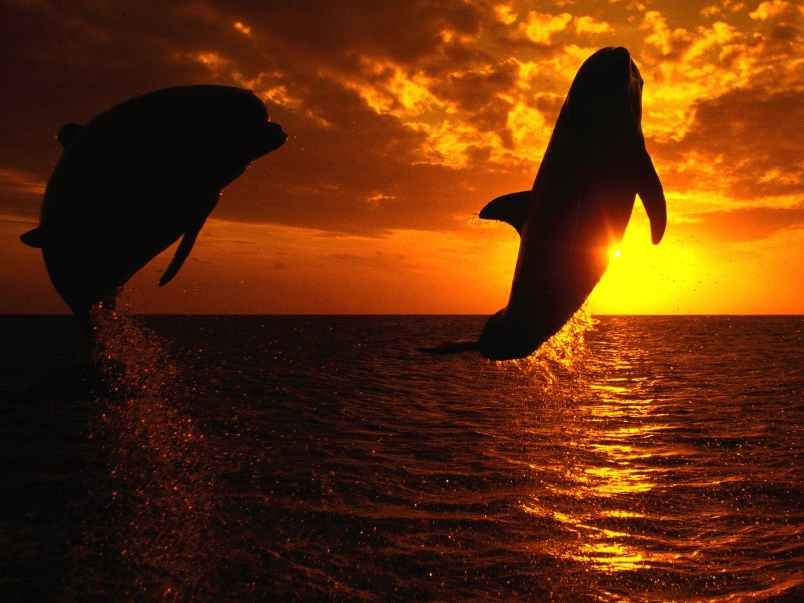 Дельфин море закат картинка