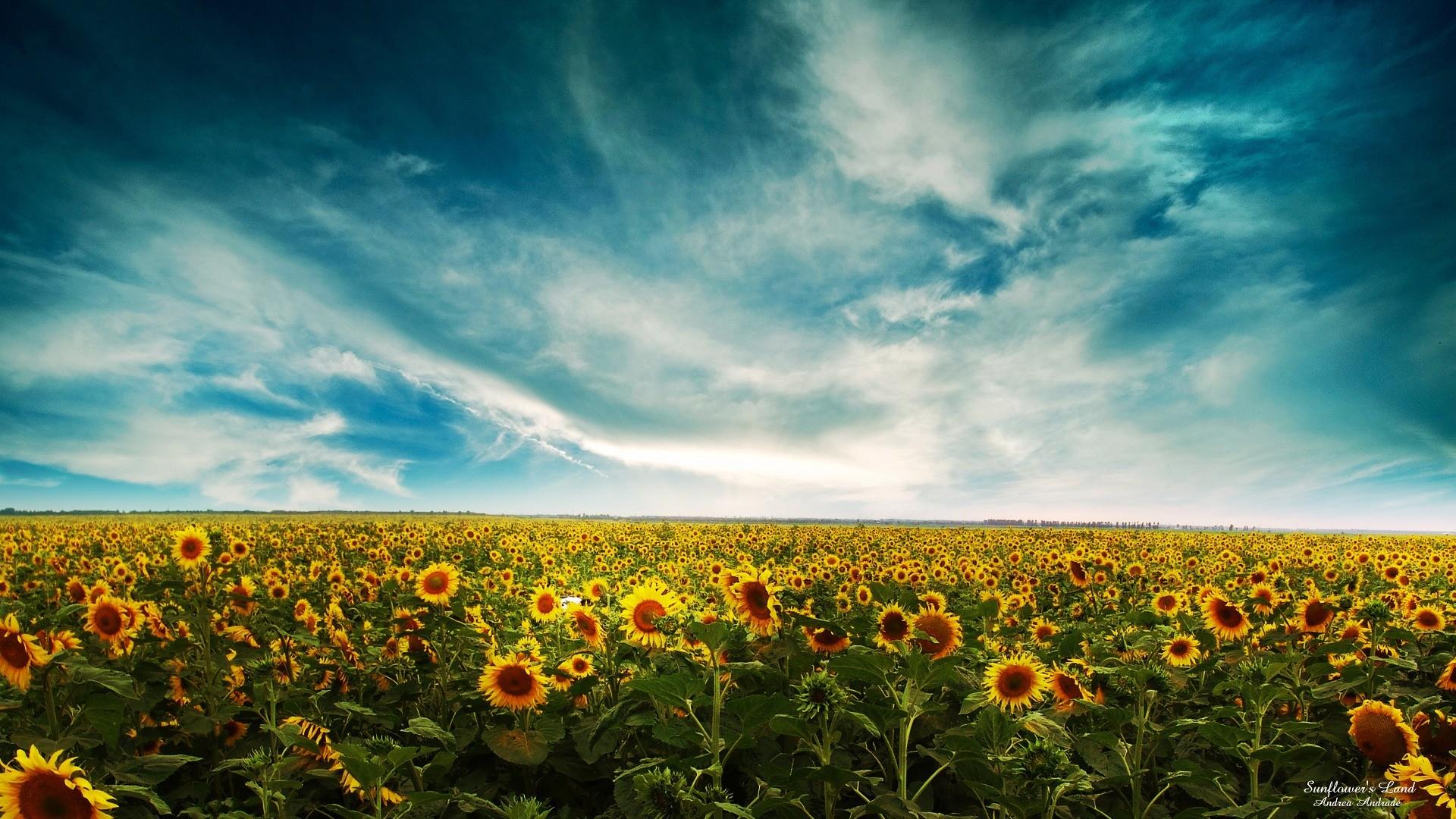Wallpaper Sinar Matahari Matahari Terbenam Langit Bidang Awan Awan Pagi Horison Bunga Matahari Awan Padang Rumput Menanam Pertanian Polos Wallpaper Komputer Tanaman Tanah Tanaman Berbunga Ekosistem Keluarga Rumput Keluarga Daisy