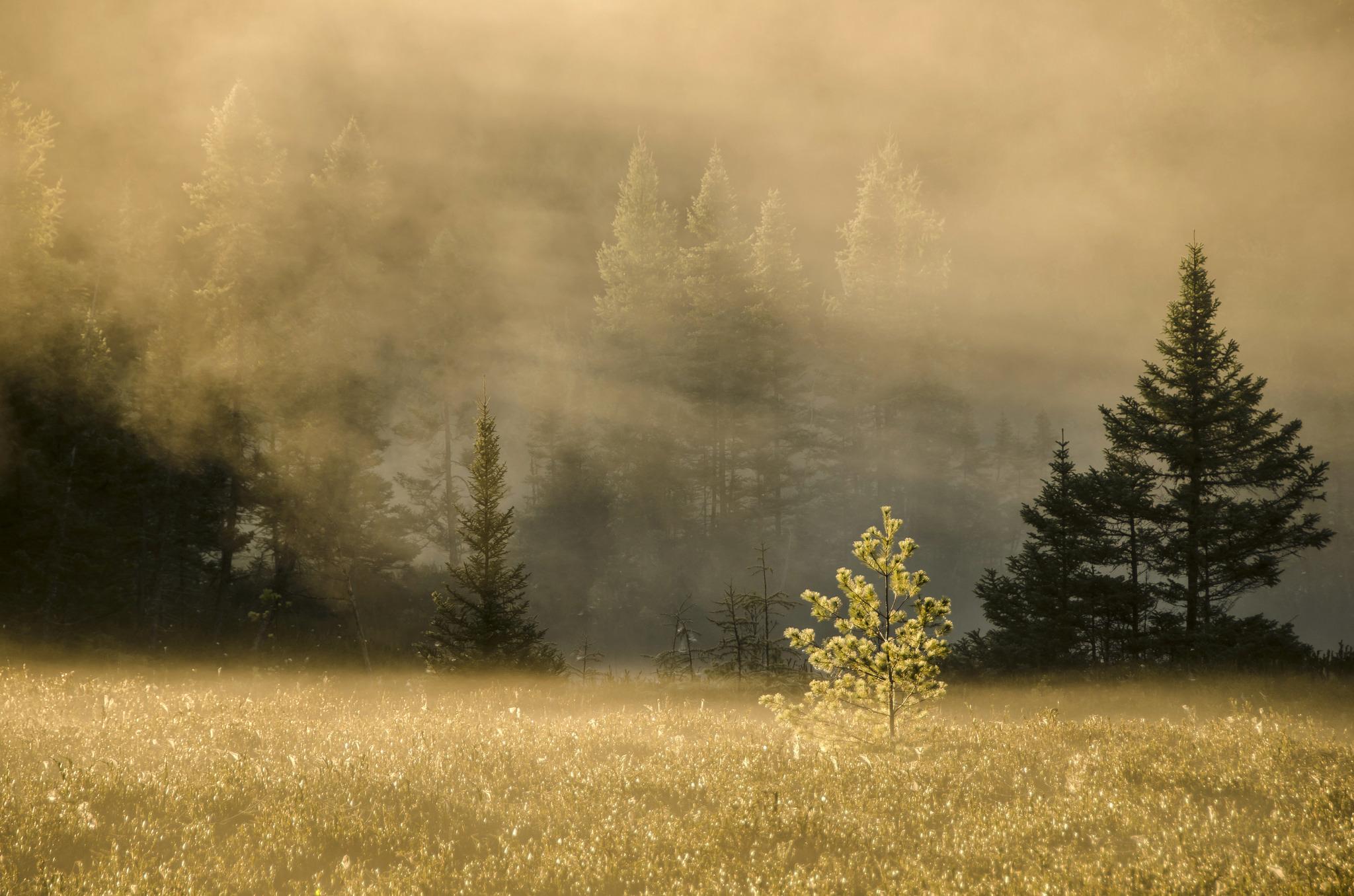 Обои восход, ёлки, утро. Природа foto 16
