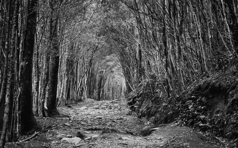 Branch jungle path rainforest tasmania tree leaf trail vegetation darkness track woodland grove black and white monochrome photography