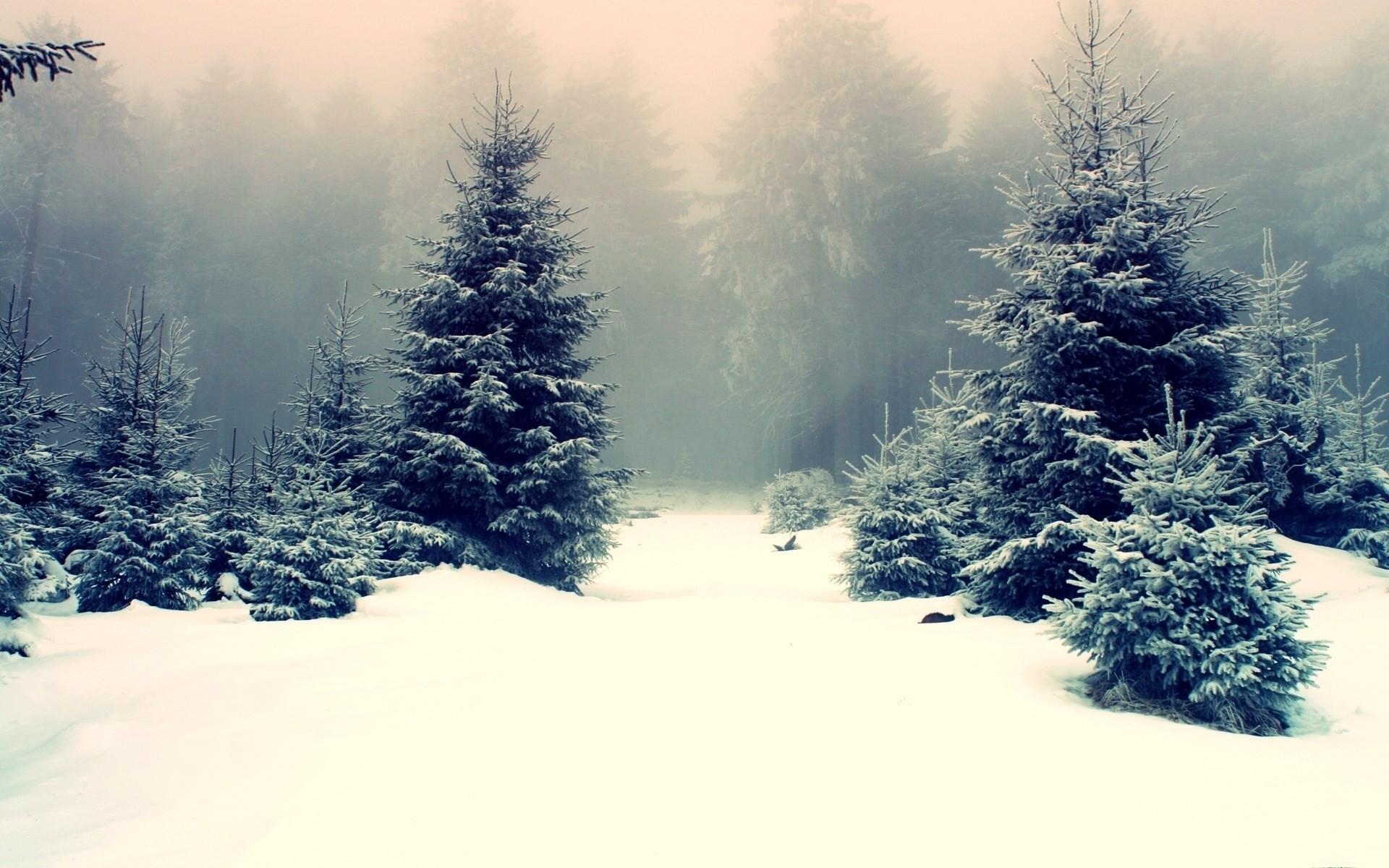 Обои елка, туман, утро. Природа foto 12