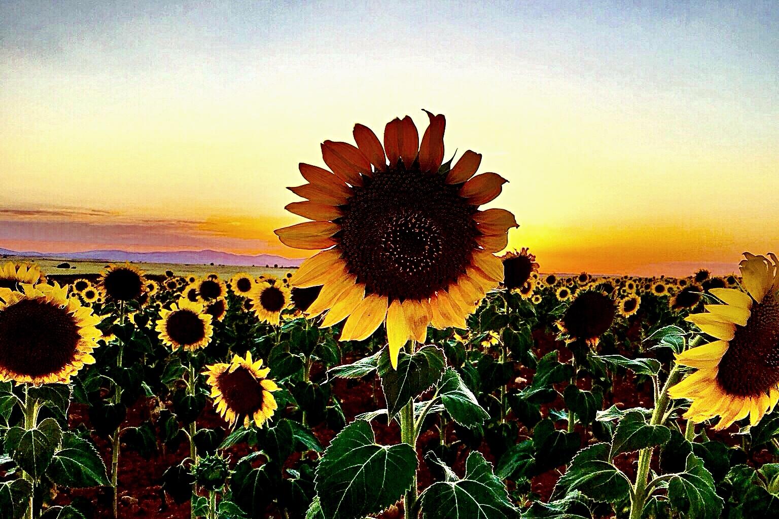 Fondos De Pantalla : Puesta De Sol, Flores, Campo