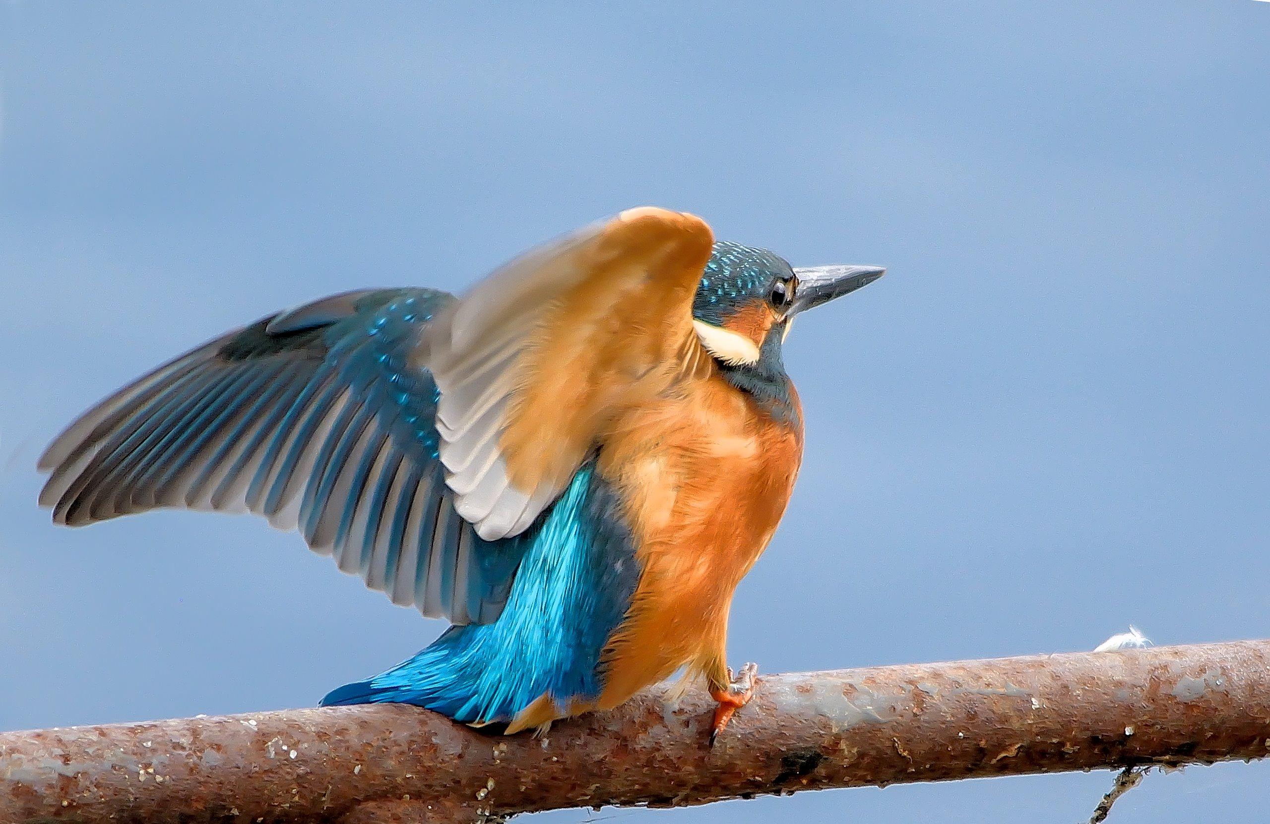 гербера птица с голубыми крыльями картинки том числе, используют