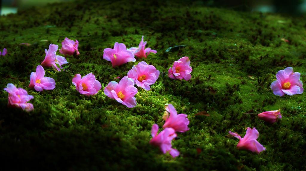 Fond d 39 cran temple herbe rose fleur printemps zen - Fleurs roses de printemps ...