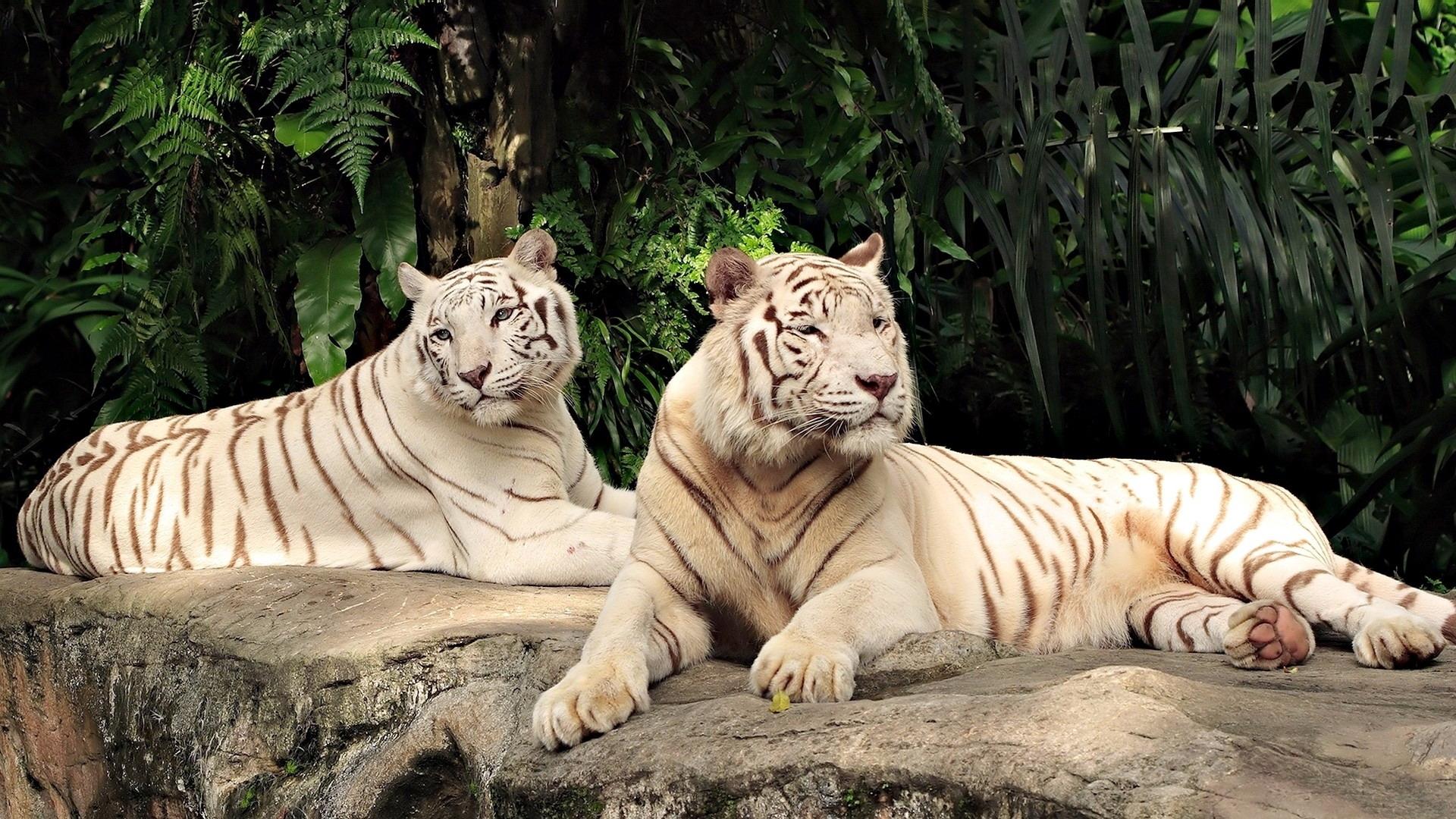 Широкоформатные картинки тигров