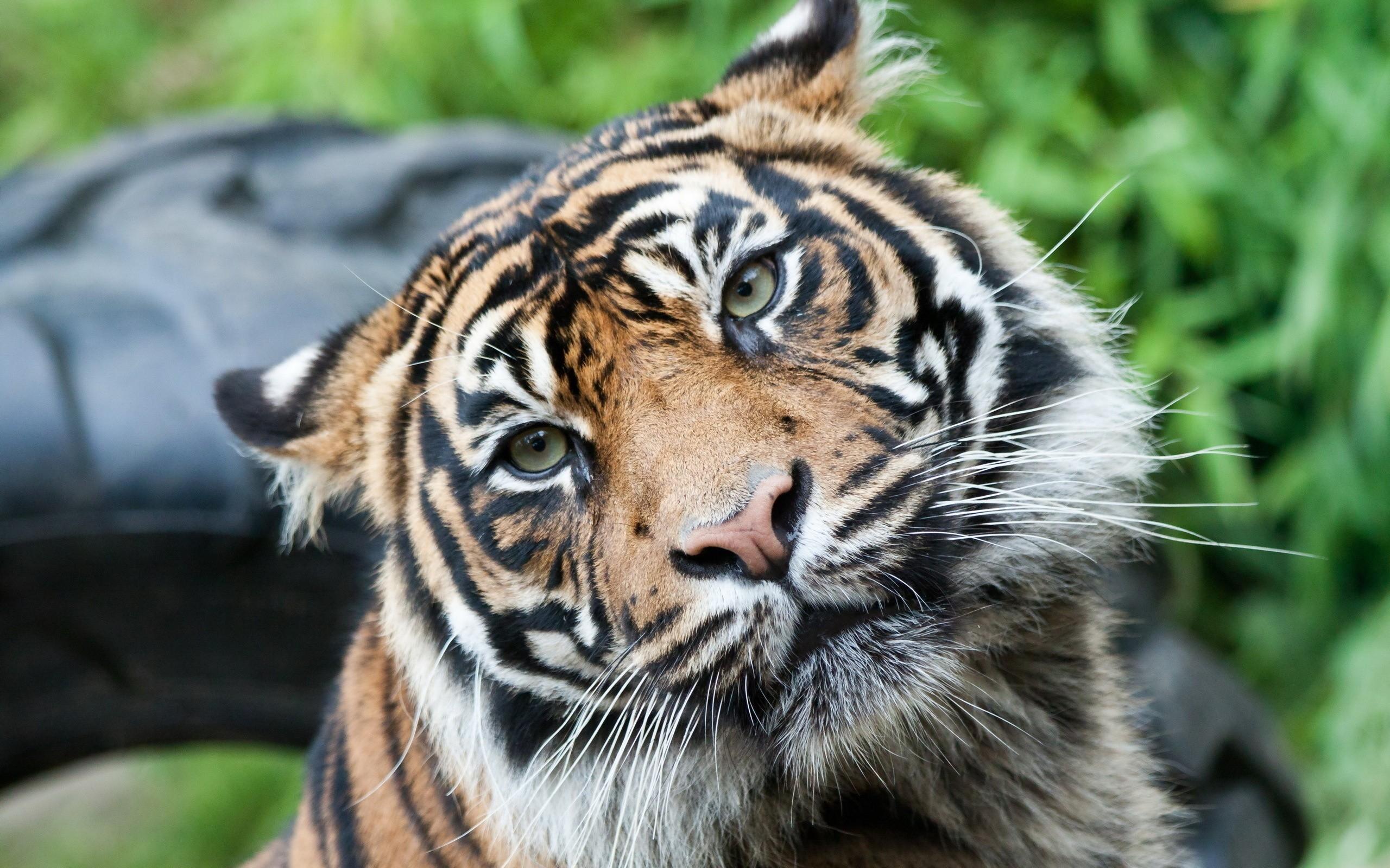 тигр картинки фотографии влюблены