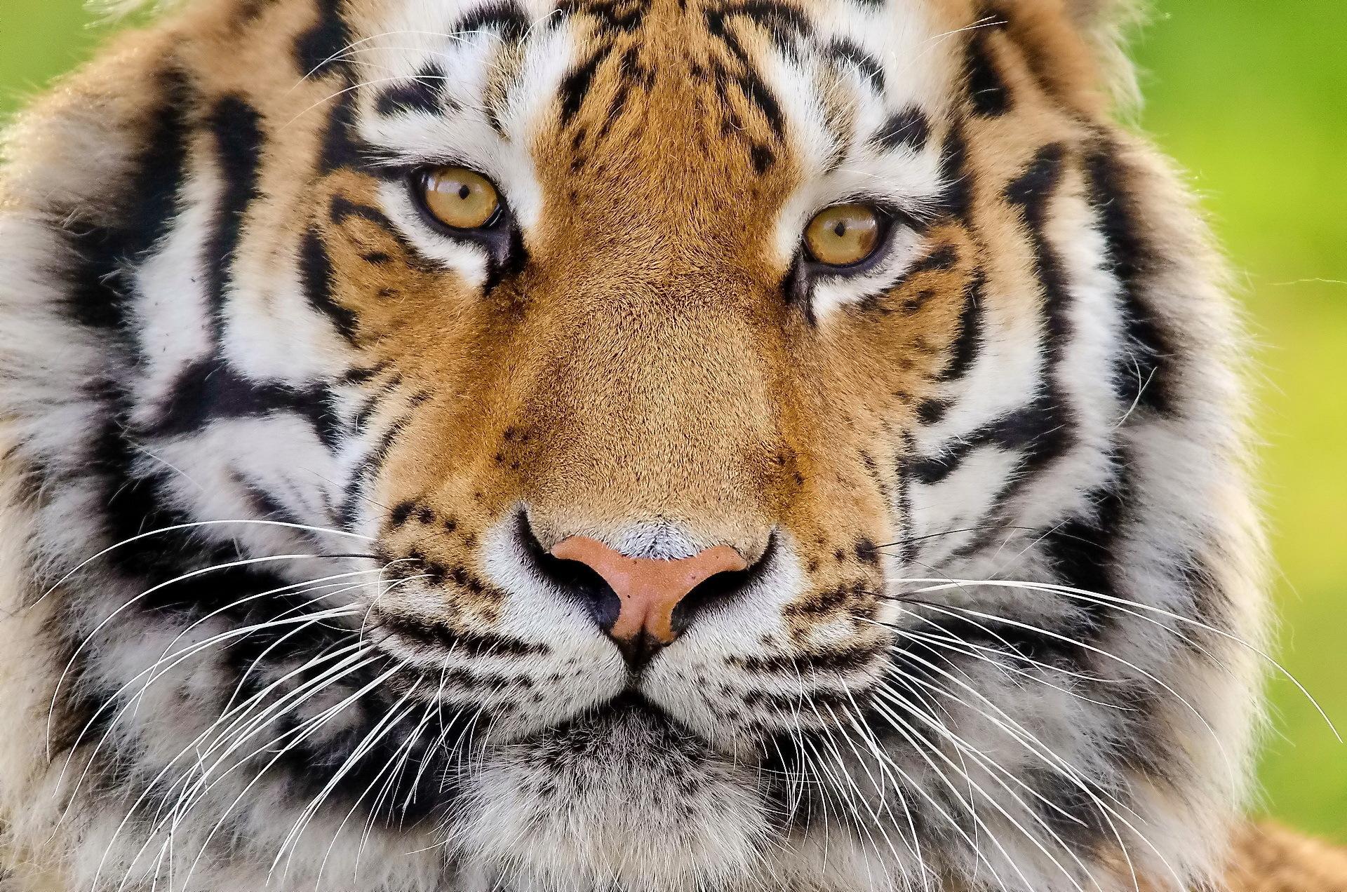 дочка картинка для экрана тигр дерматит это заболевание