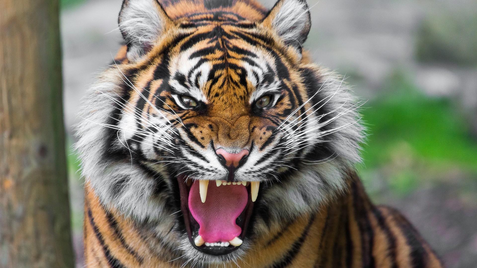 Tiger Face Teeth Anger Big Cat