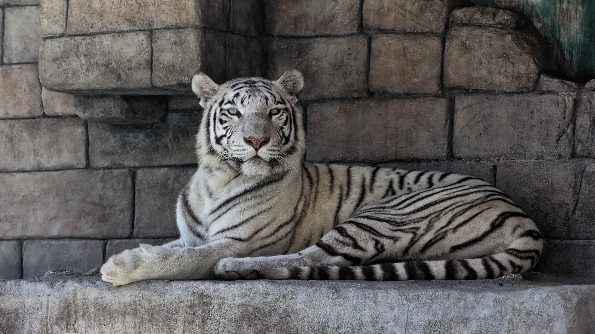 Fondos De Pantalla Fauna Silvestre Gatos Grandes Zoo A