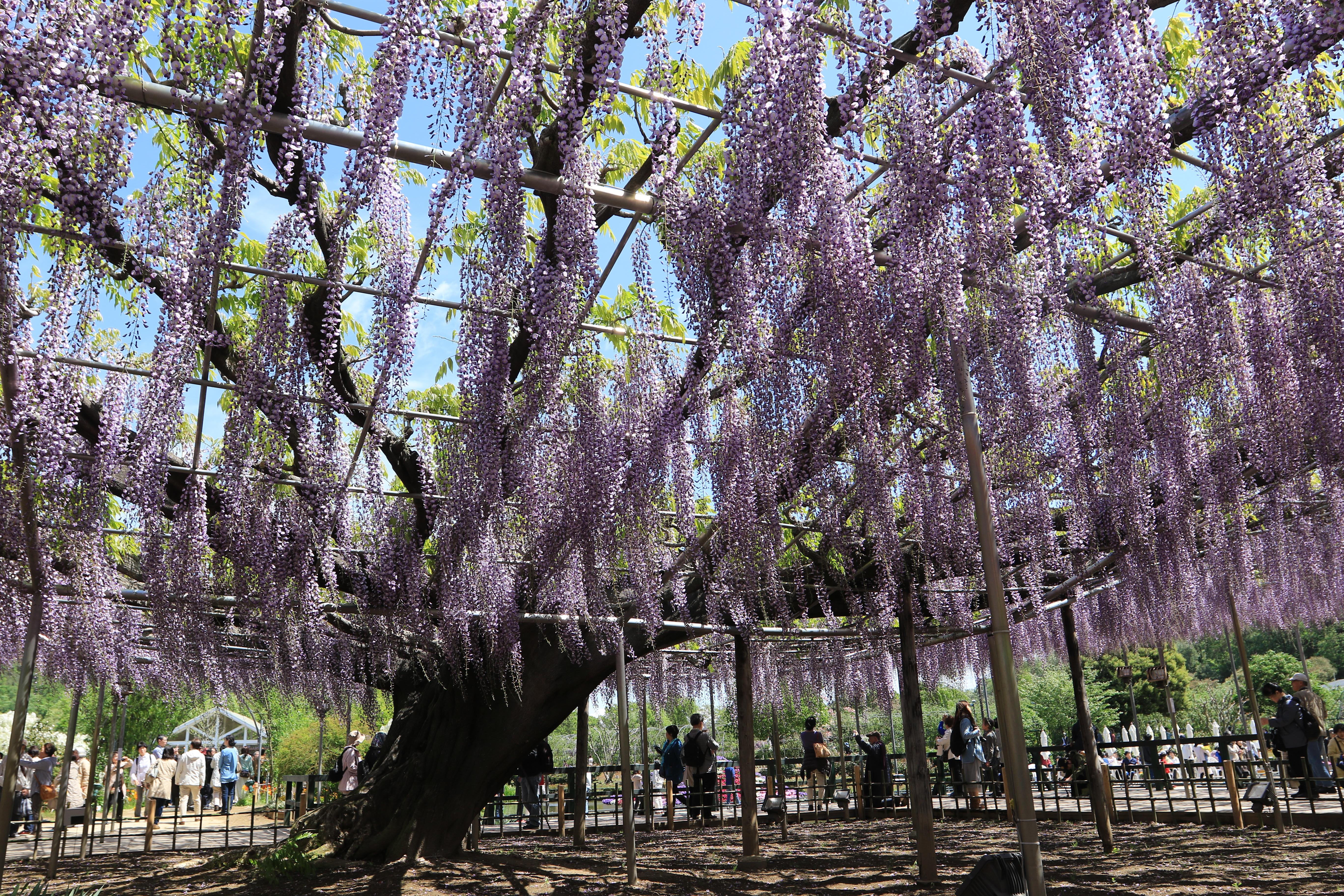 fond d'écran : arbre, violet, glycine, gianttree, ashikagaflowerpark