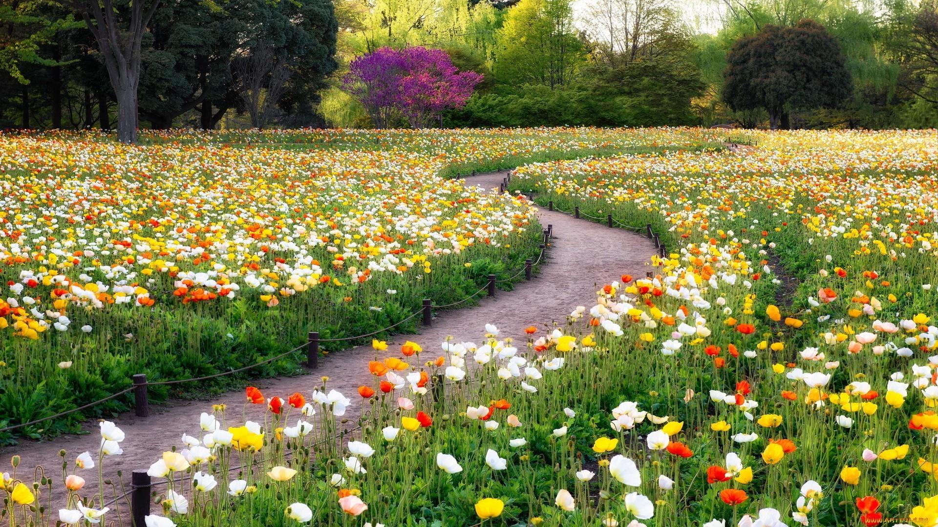 fond d 39 cran des arbres jardin herbe champ chemin coquelicots fleur flore prairie. Black Bedroom Furniture Sets. Home Design Ideas