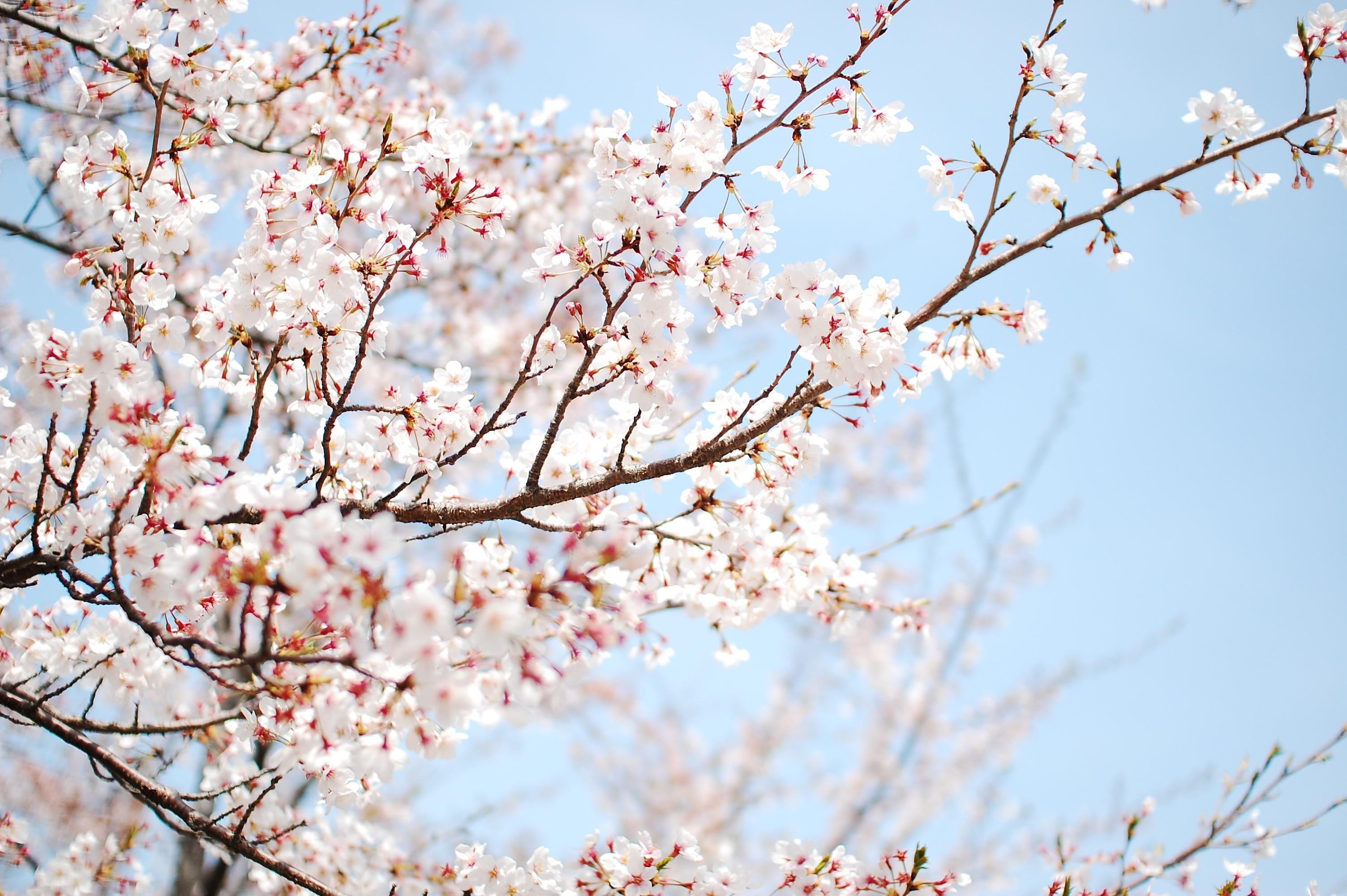 Unduh 480 Wallpaper Bunga Sakura Untuk Android Terbaik