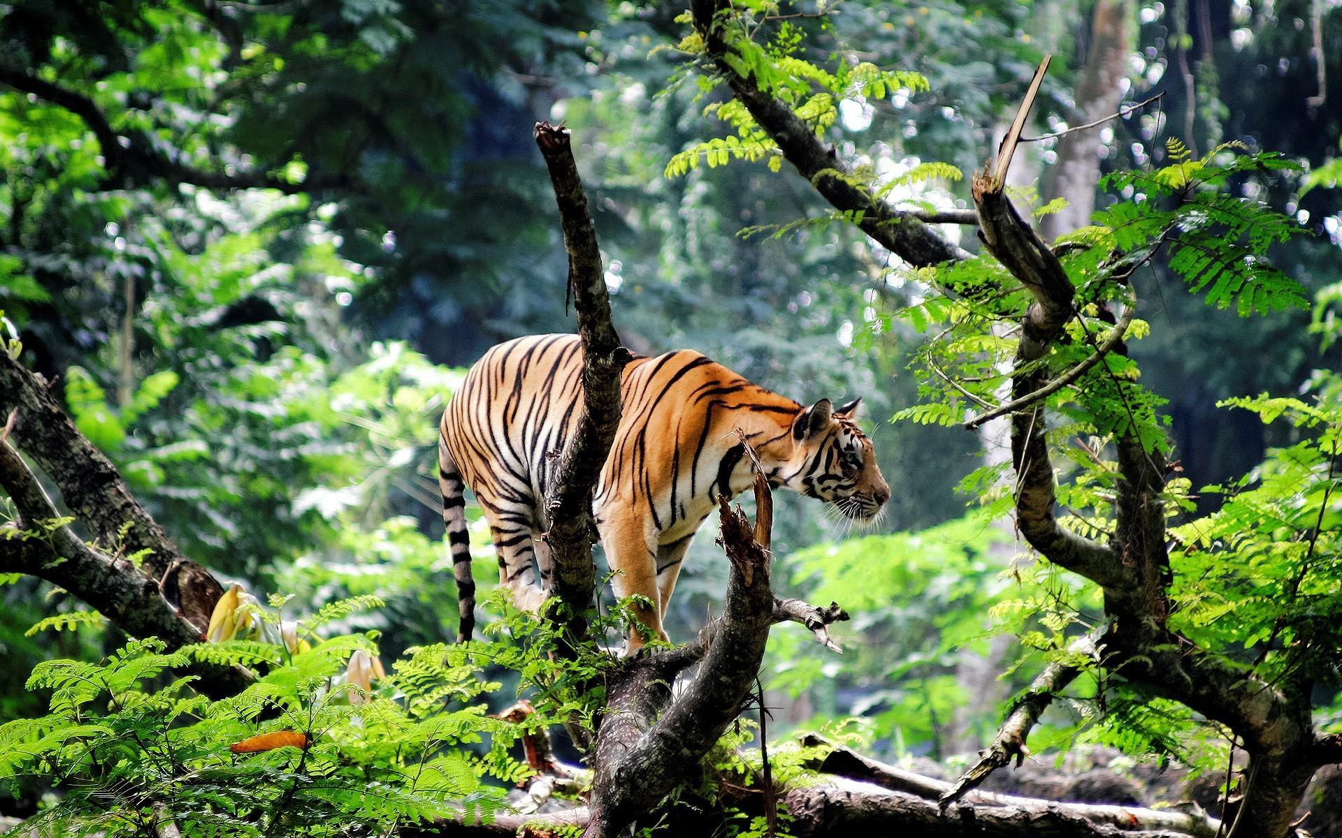 fond d 39 cran des arbres animaux la nature les plantes tigre branche faune gros chats. Black Bedroom Furniture Sets. Home Design Ideas
