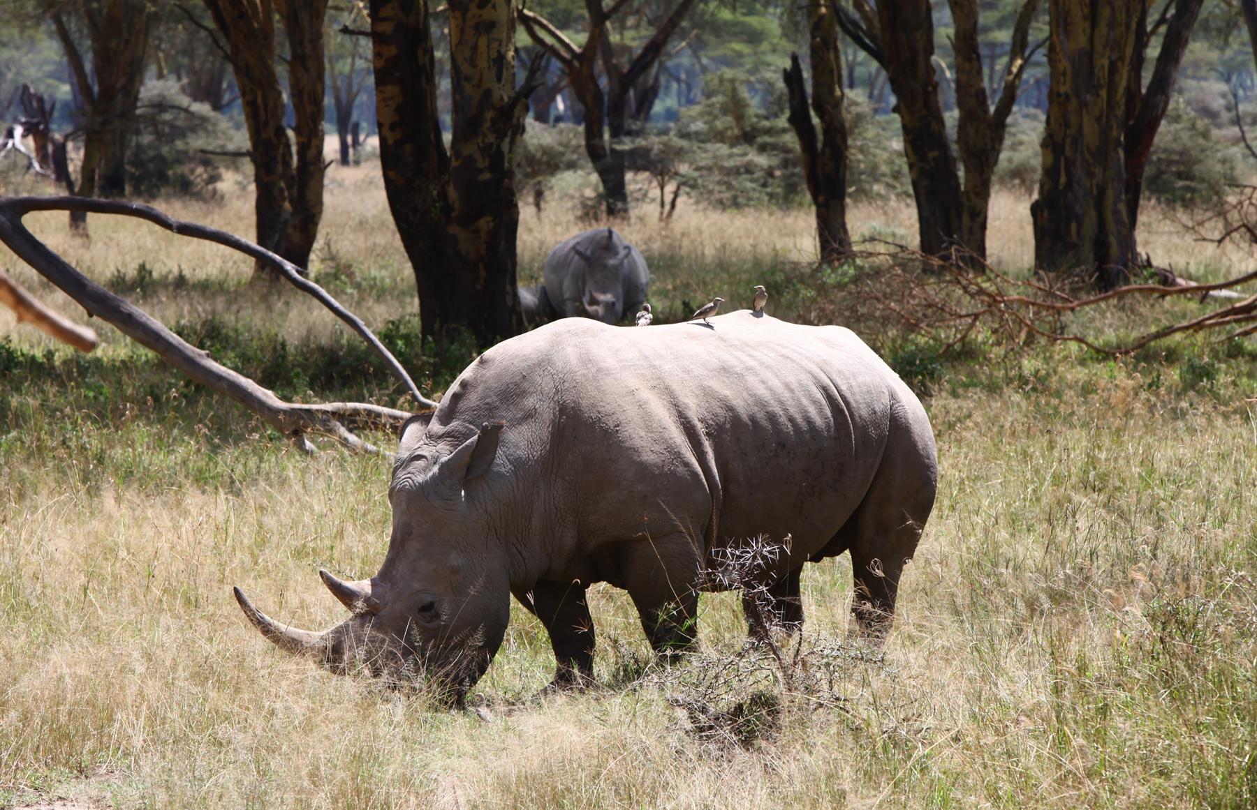 Wallpaper : trees, forest, grass, wildlife, rhino, Safari