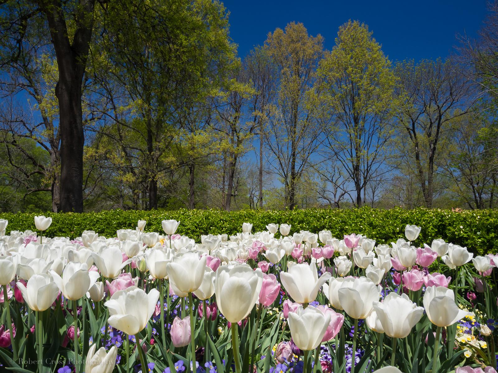 Wallpaper Pohon Pemandangan Bunga Bunga Taman Tulip