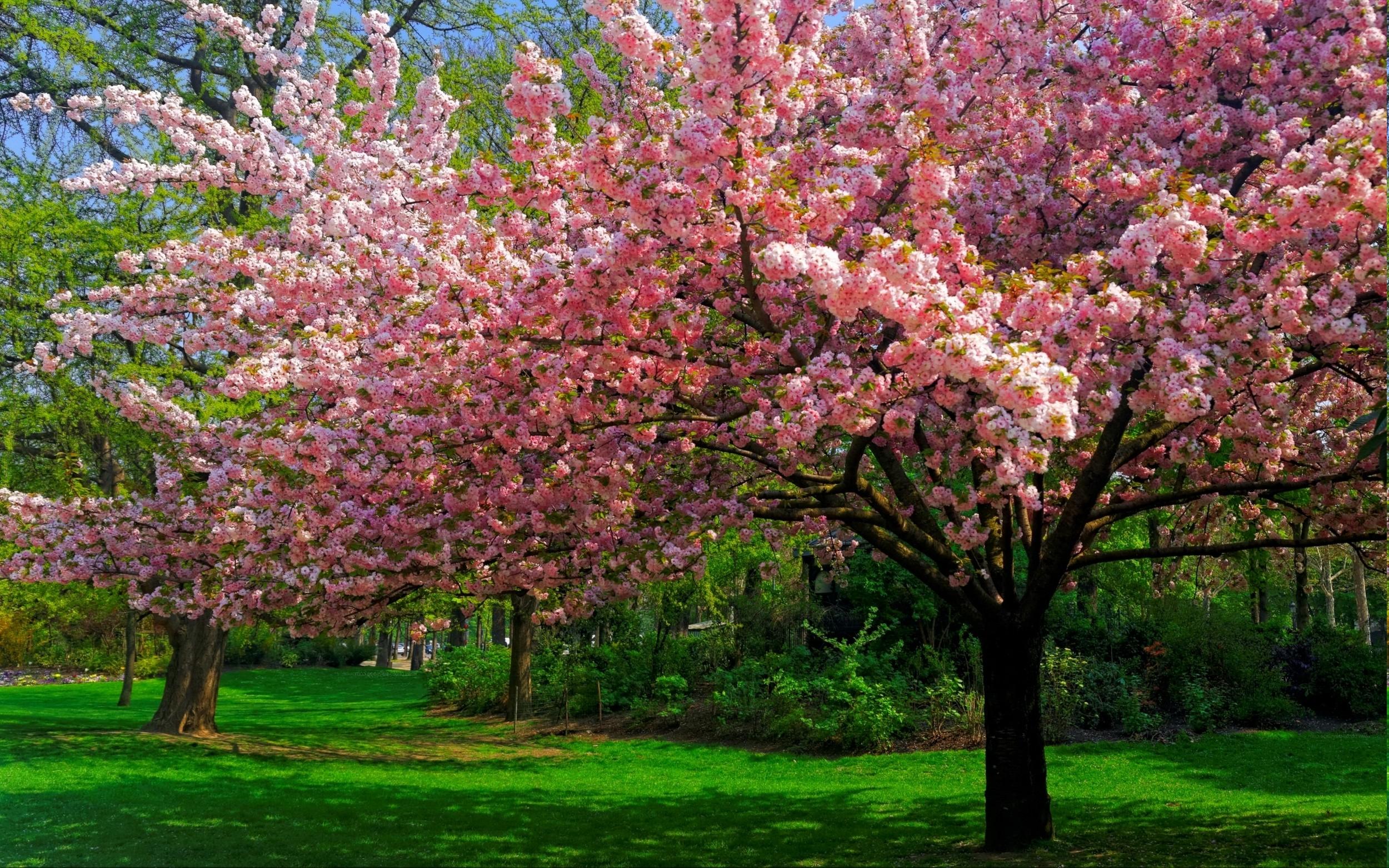 Artistic - Tree Artistic Cherry Tree Pink Wallpaper