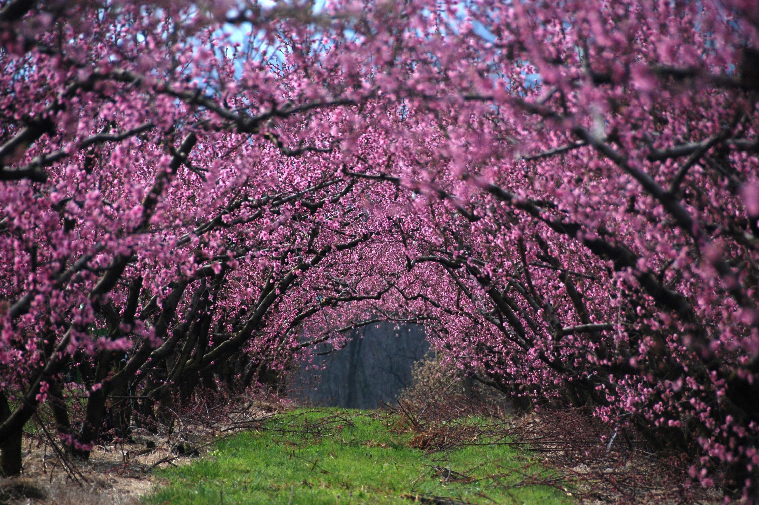 Цветущая сакура картинки в высоком качестве
