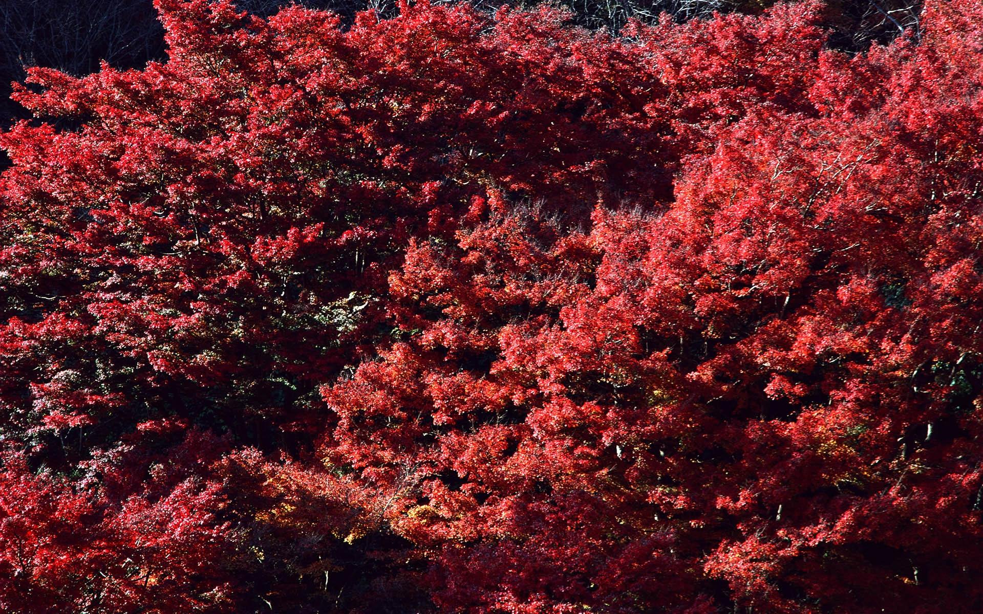 fond d'écran : des arbres, feuilles, rouge, branche, fleur, arbre, l