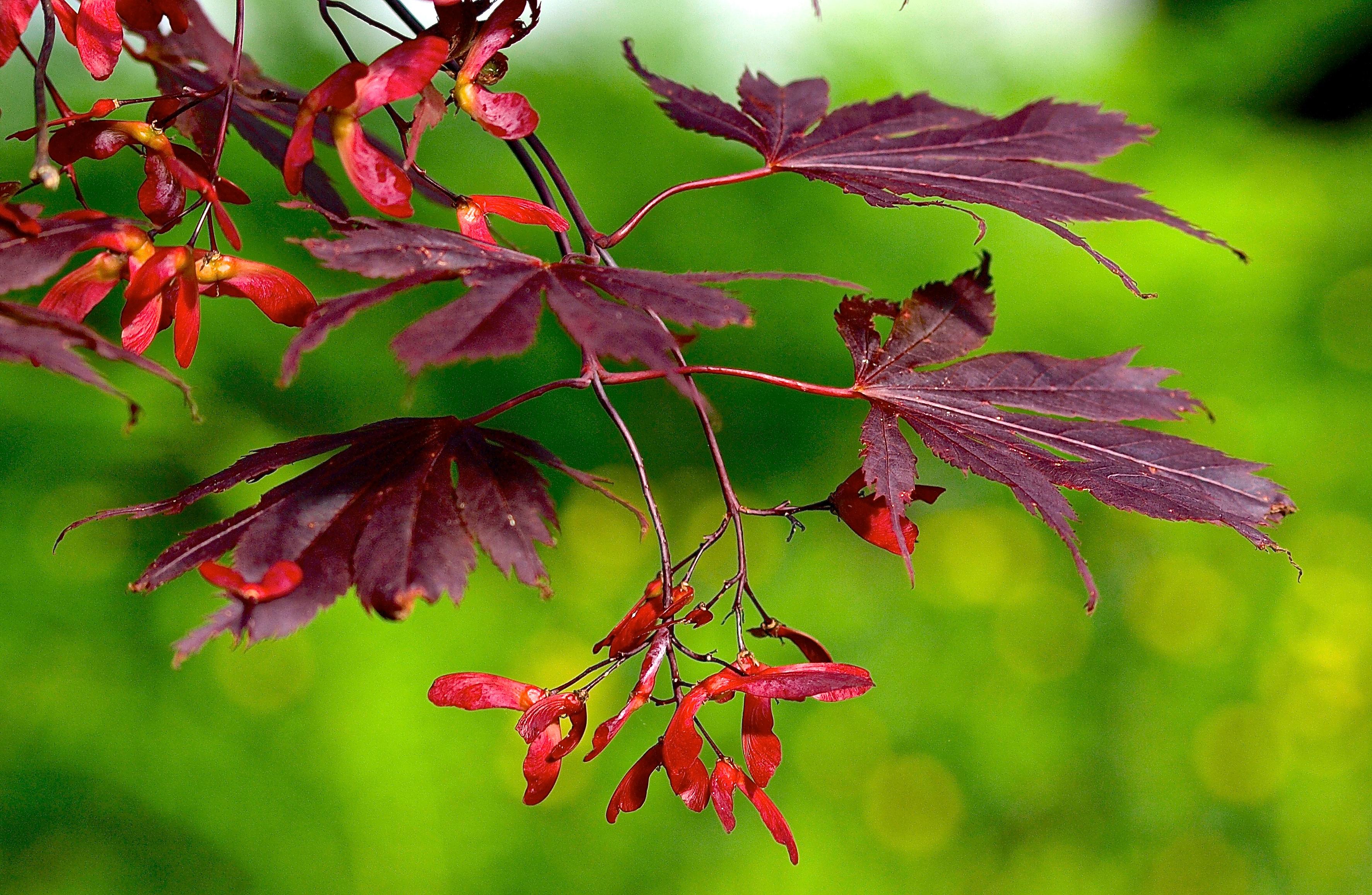 fond d'écran : des arbres, rouge, branche, arbustes, printemps