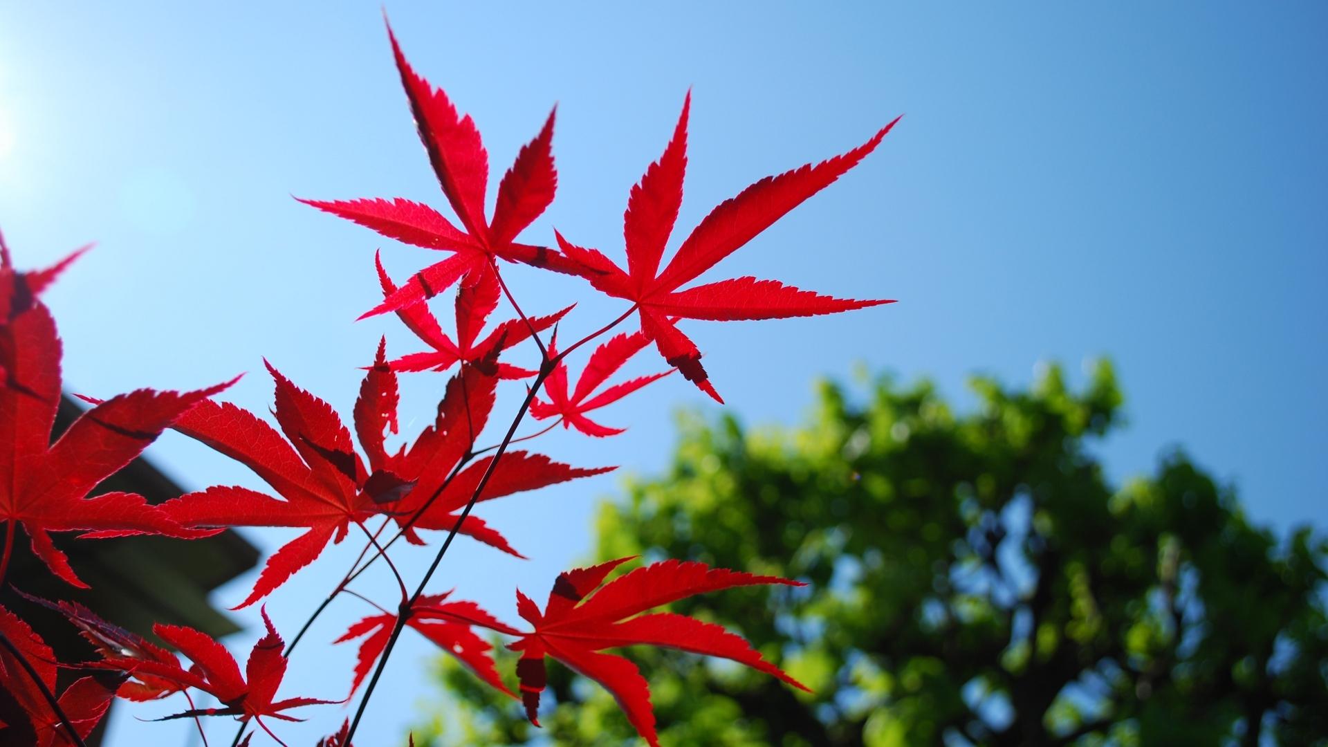 fond d'écran : des arbres, feuilles, rouge, ciel, branche, bleu
