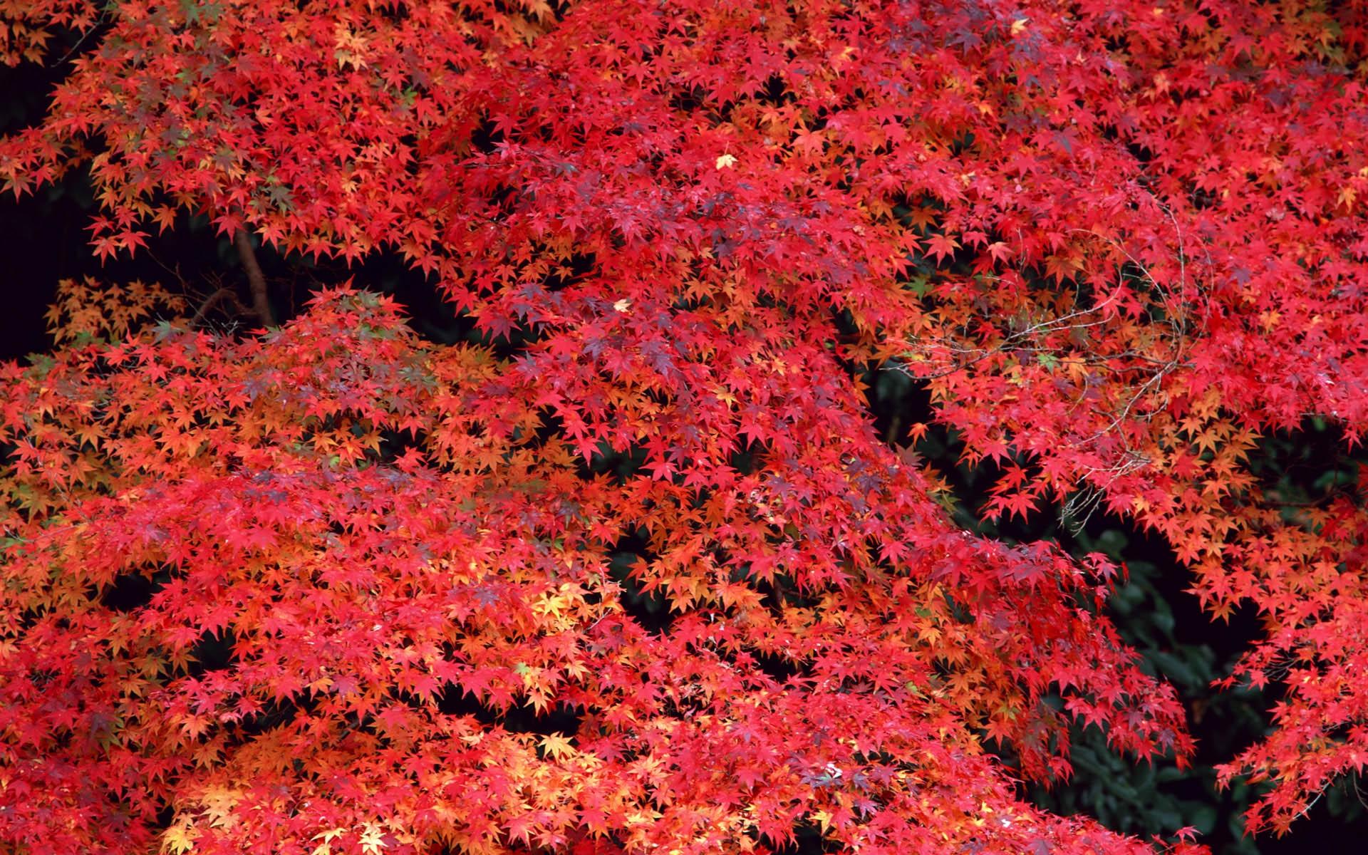 fond d'écran : des arbres, feuilles, rouge, arbre, l'automne