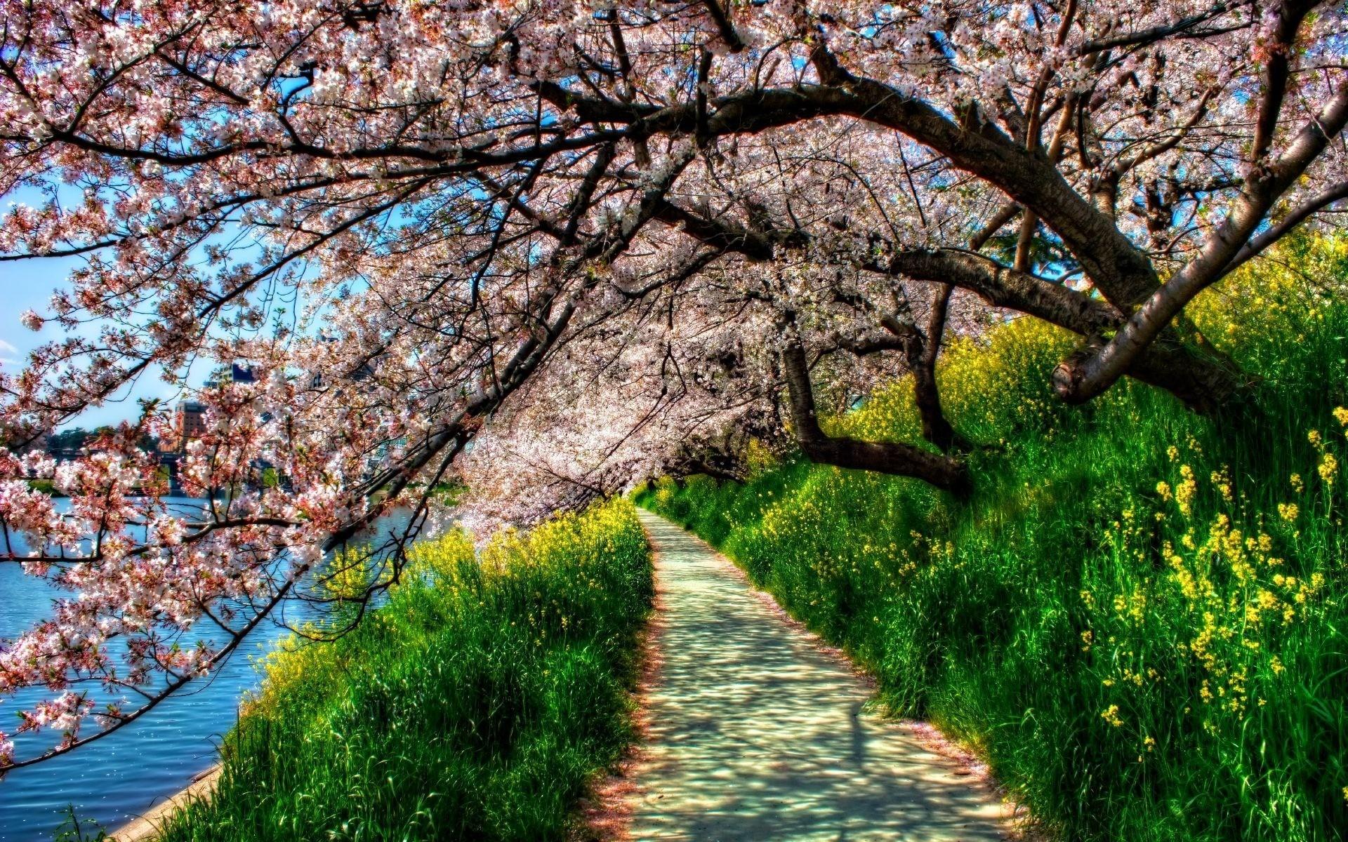 Download 98 Gambar Wallpaper Pemandangan Bunga Sakura Terbaik