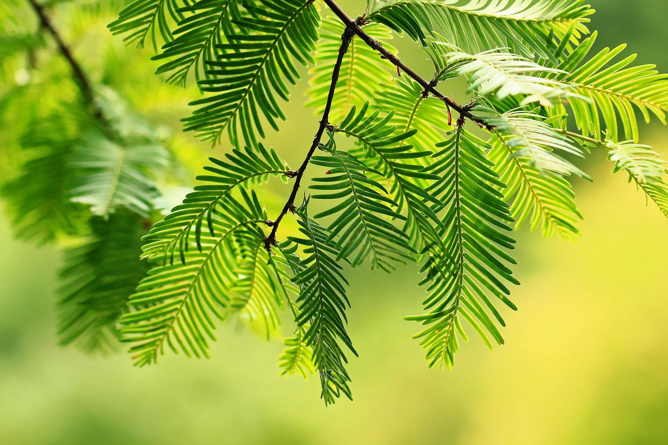 Geliebte Hintergrundbilder : Bäume, Pflanzen, Ast, Tanne, Nadelbaum #SM_71