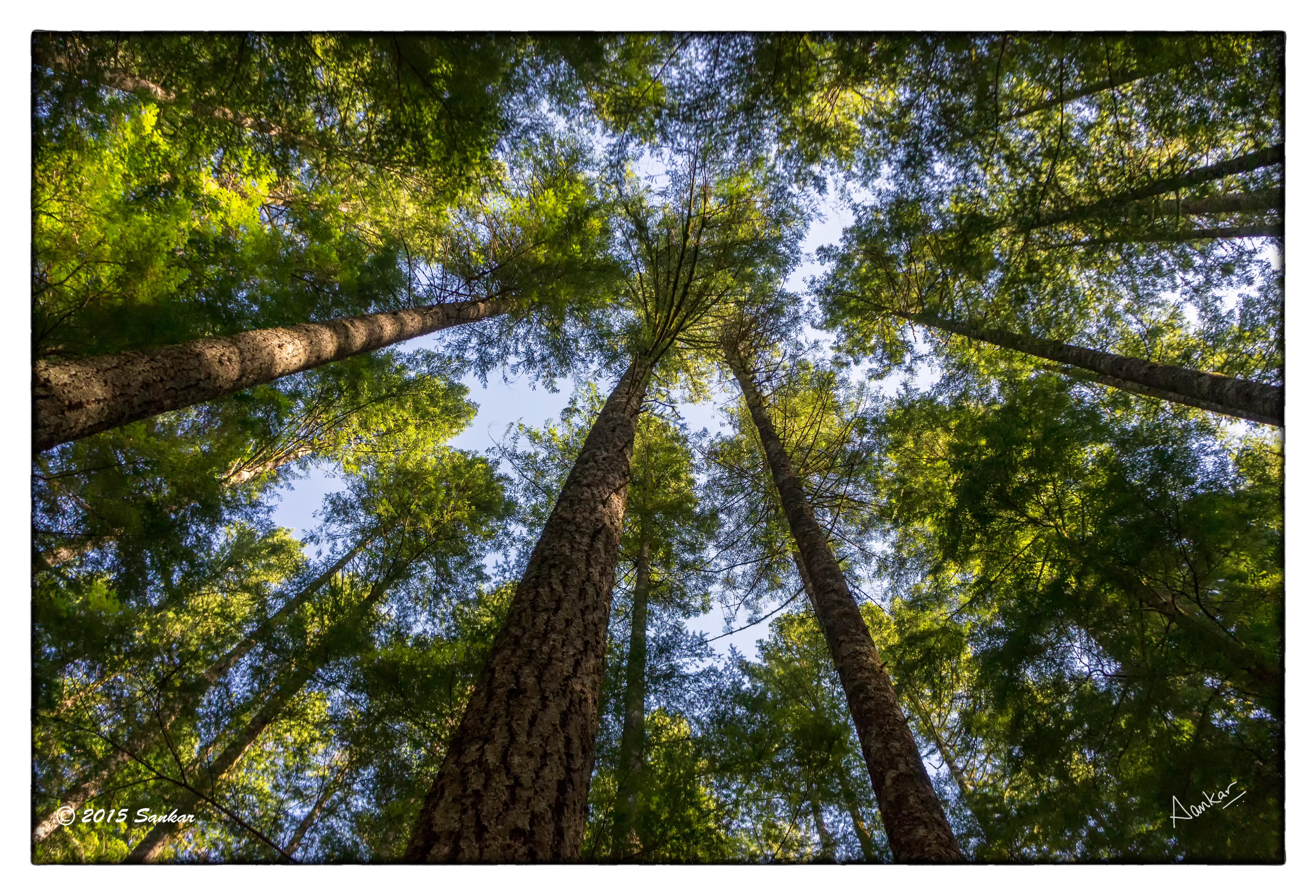 как сфотографировать деревья уходящие в небо даже начал выстраивать